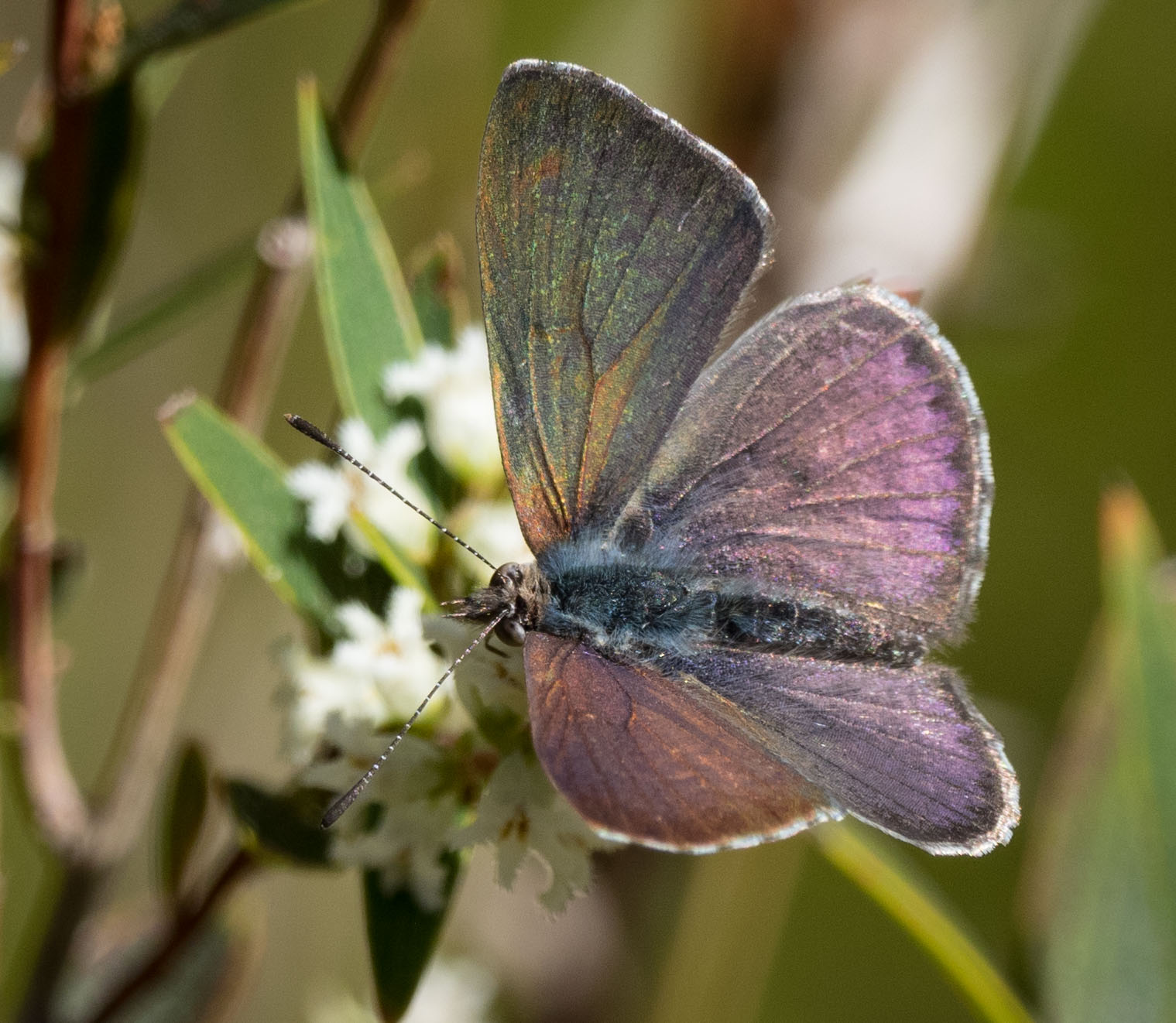 The Common Dusky Blue butterfly ( Candalides hyacinthinus ) making its first appearance for the year. Probably newly-eclosed.