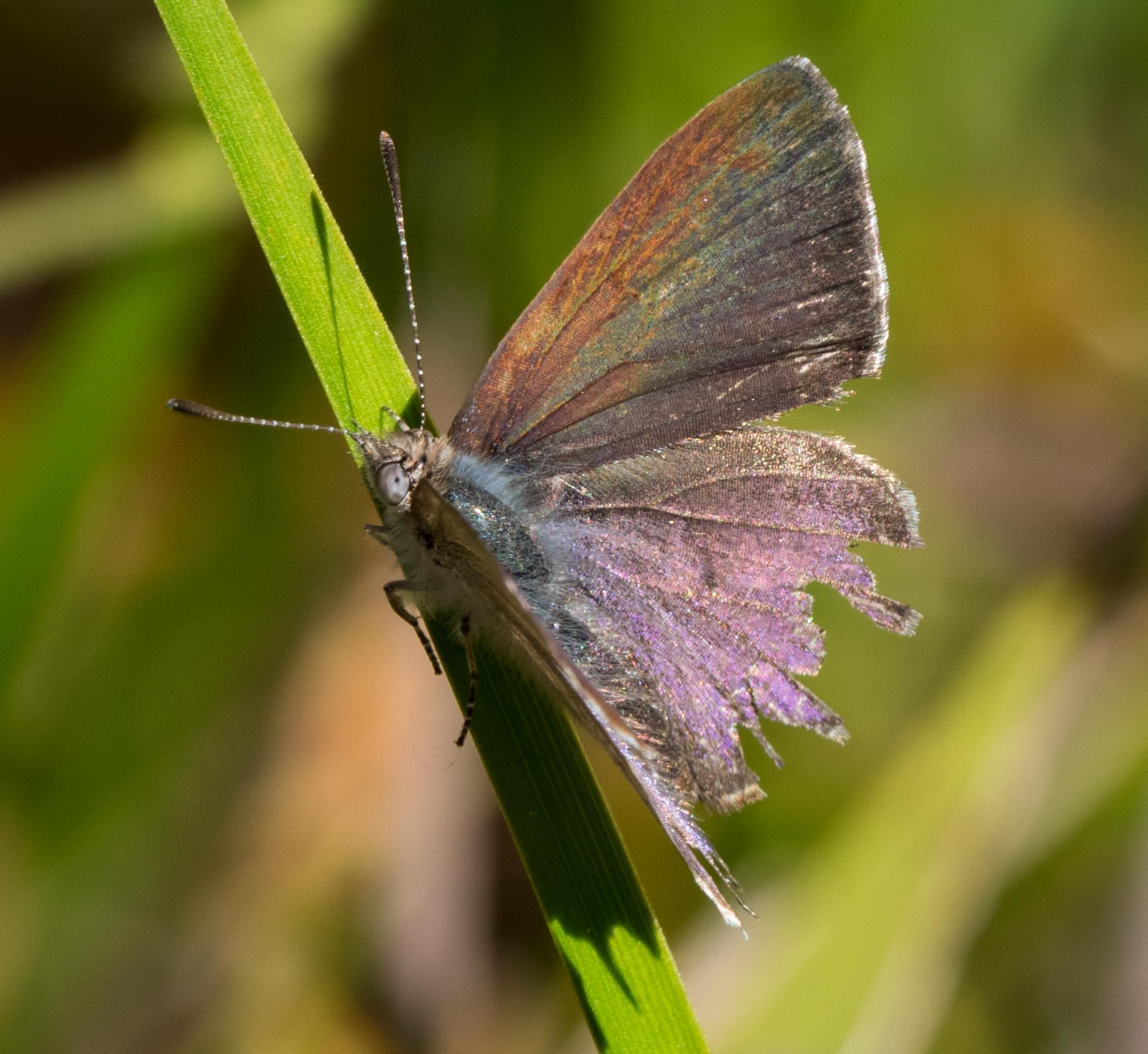 Varied Dusky-blue ( Candalides hyacinthinus )