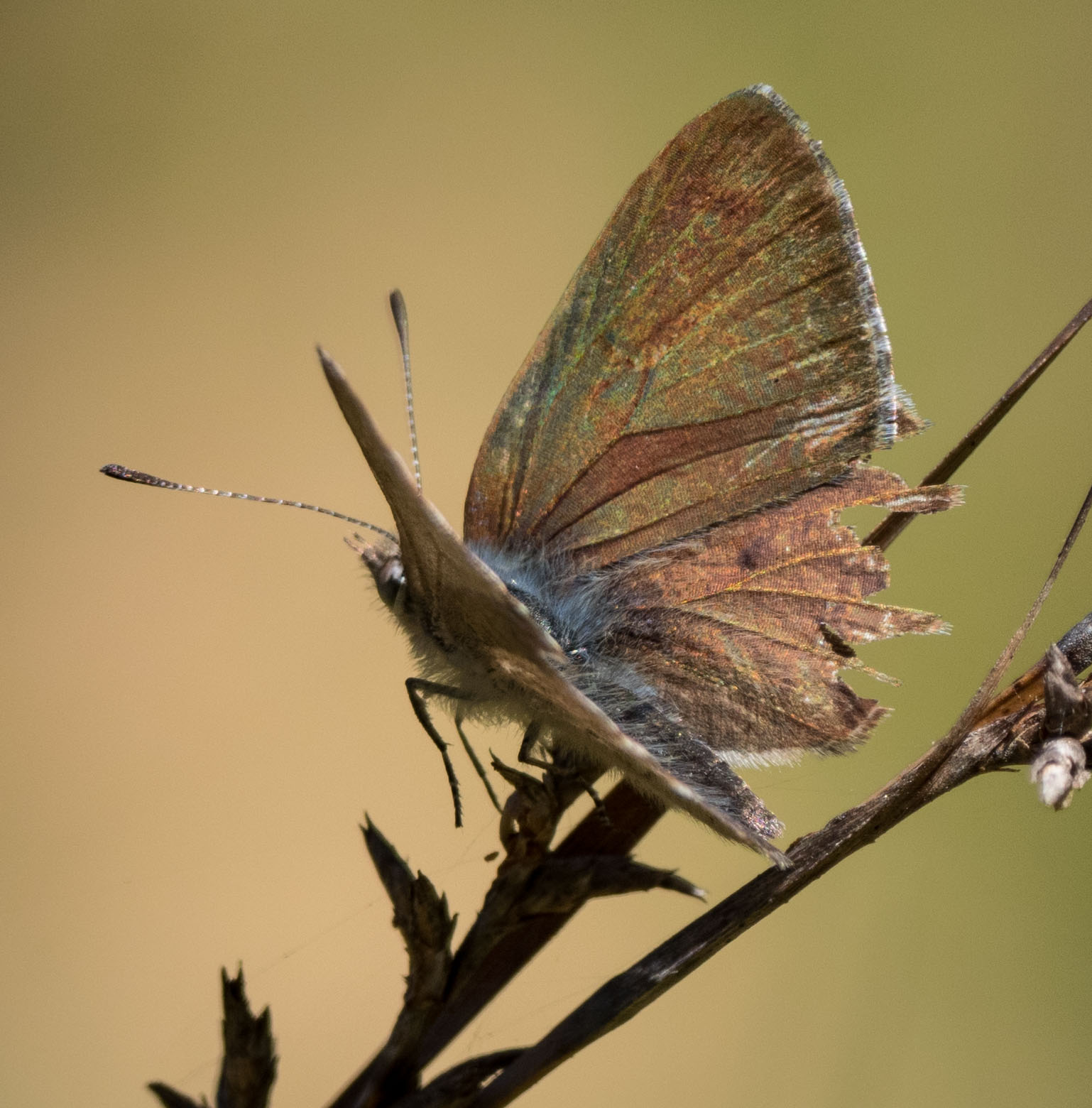 Varied Dusky-blue ( Candalides hyacinthinus ) - same individual as in previous image