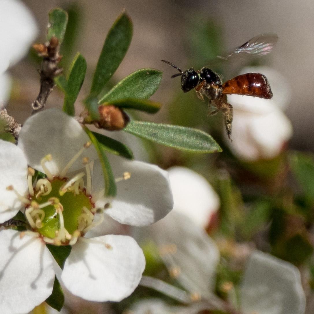 Reed Bee ( Exoneura sp. ) Family: APIDAE