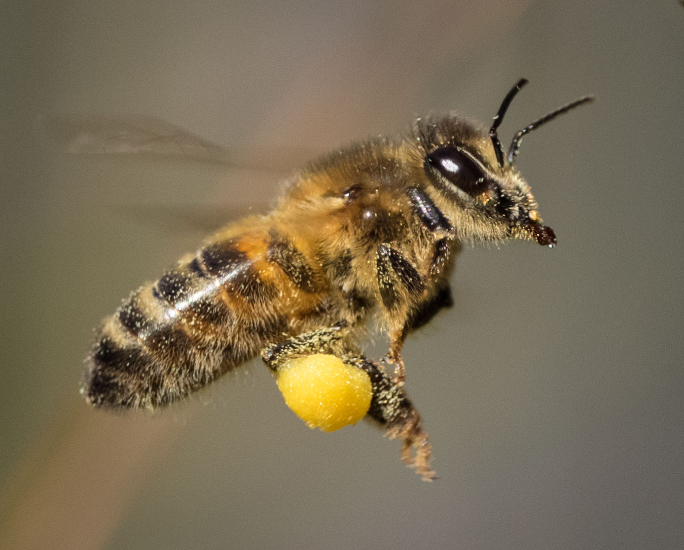 Honey Bee,  Apis mellifera  – HYMENOPTERA (Apidae)