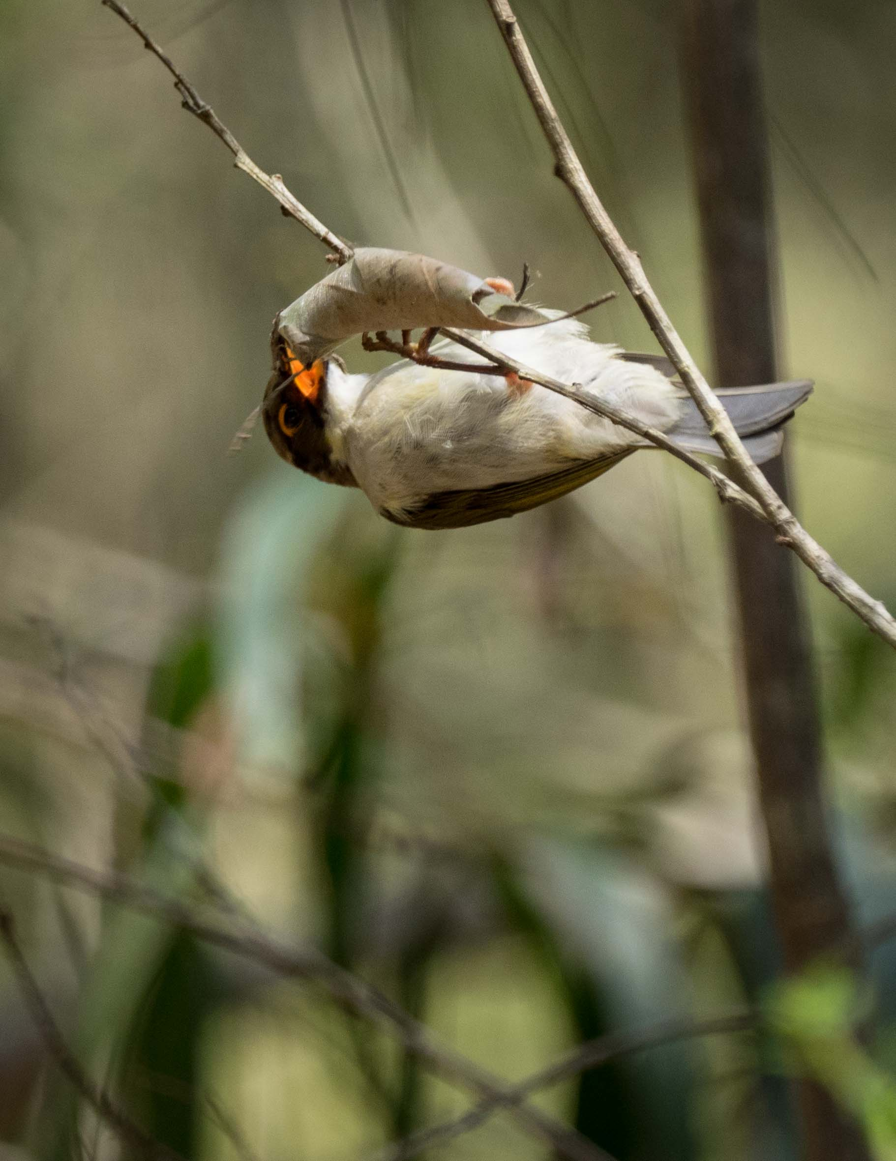 2. The bird hangs onto the leaf as it tries to attack the open end