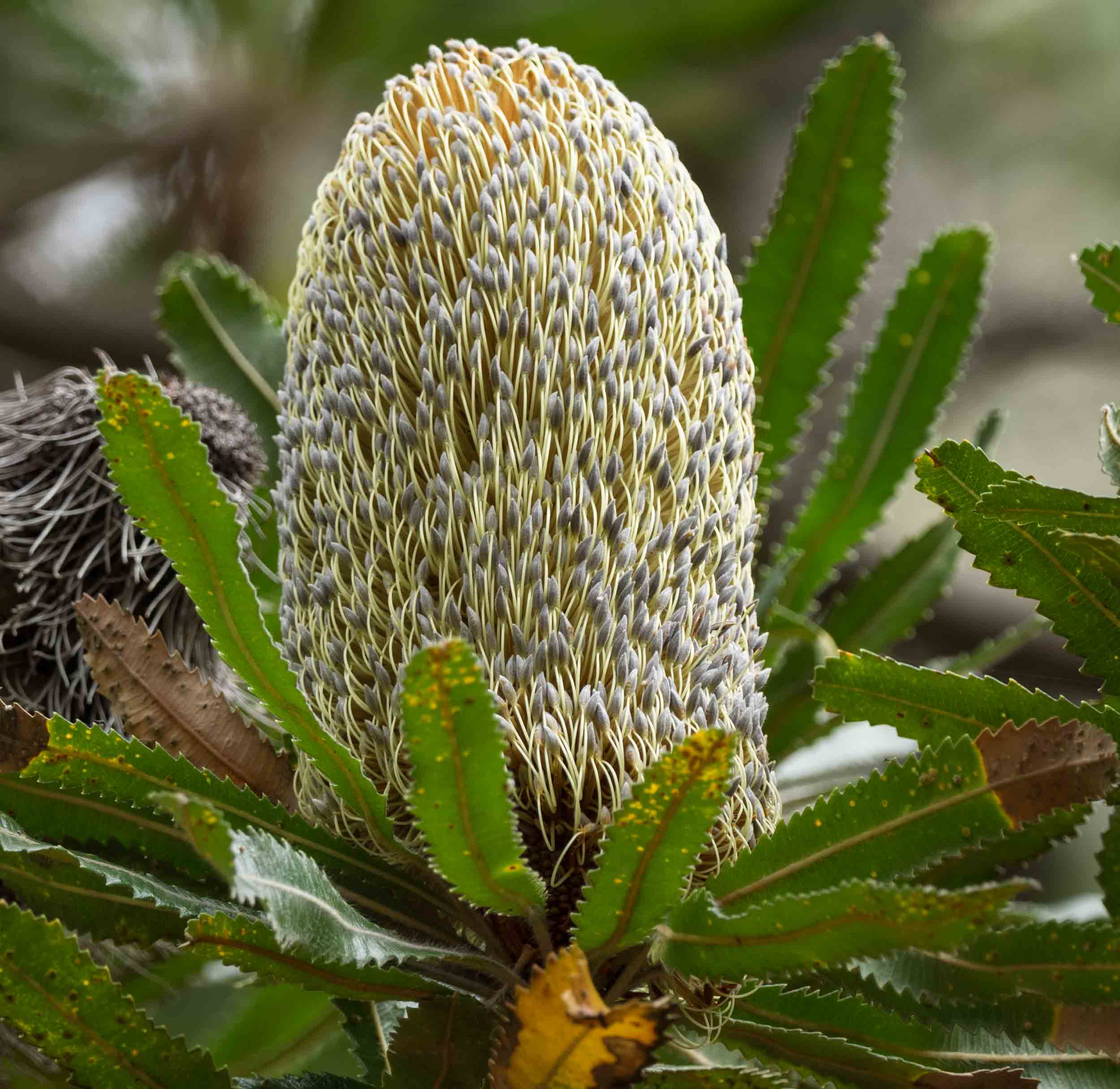 "A  Banksia serrata  ""flower"". Or is it a cone? or what?"