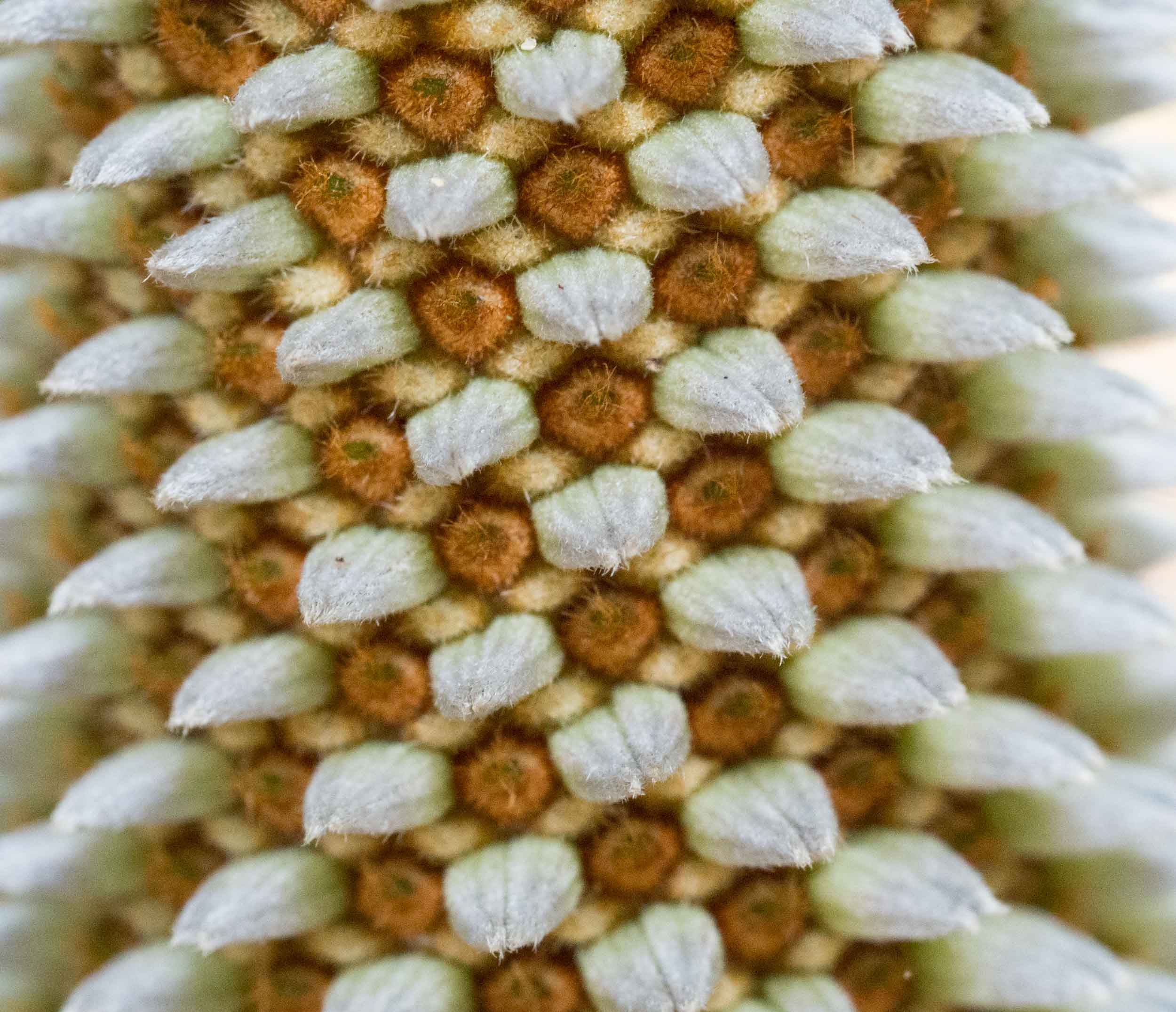 This close-up of the spike shows the protruding flower heads.