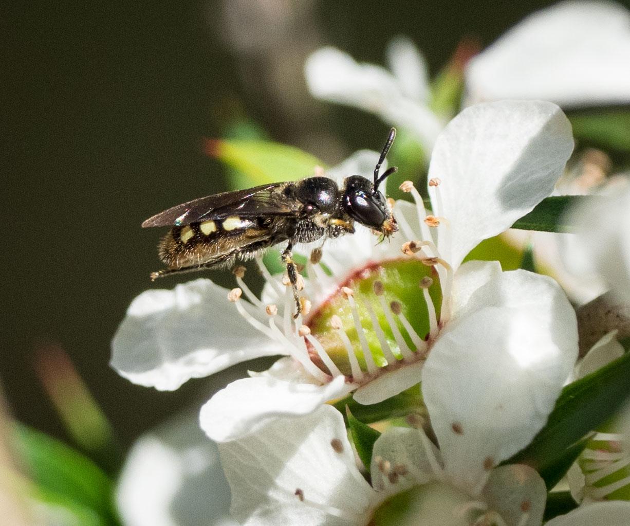 Euhesma sp.  (Family: Colletidae; sub-family: Euryglossinae)