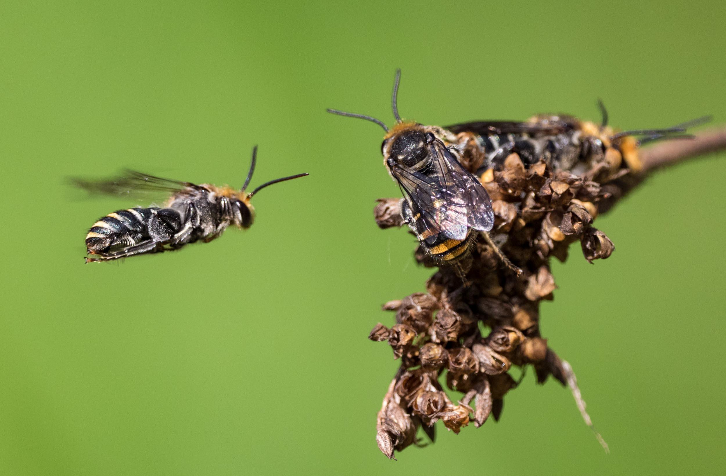 Lipotriches (Austronomia)australica  (Family:Halictidae; sub-family: Nomiinae)