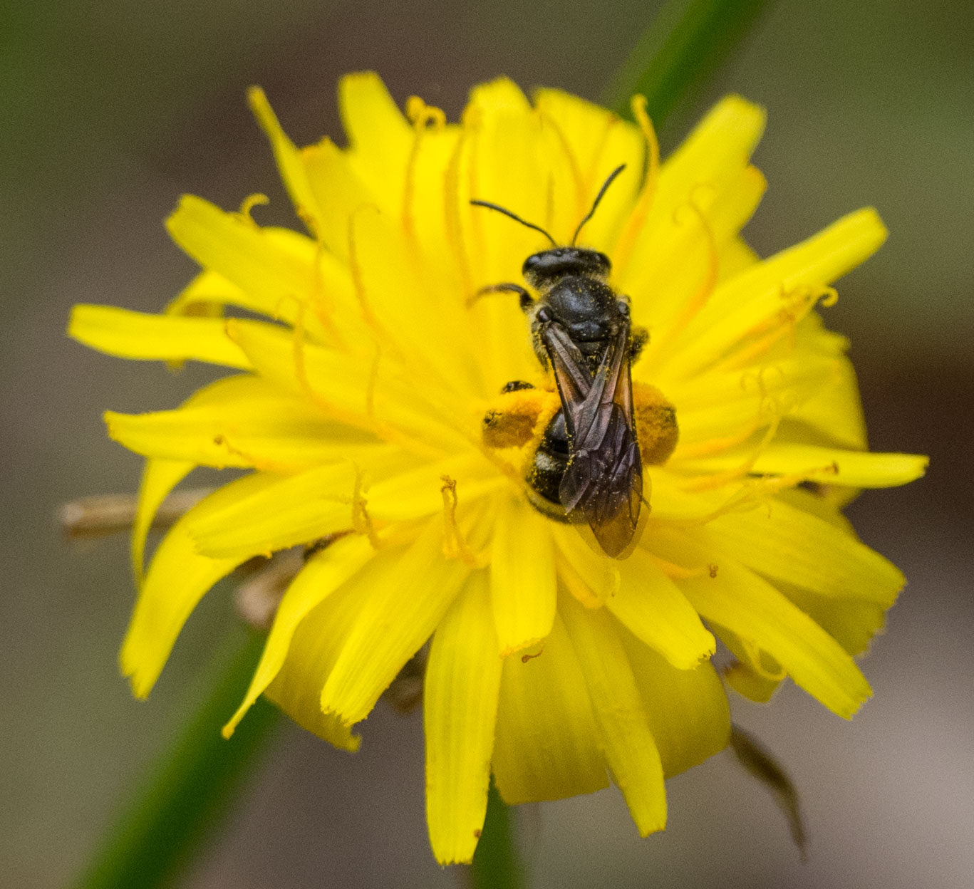 Bee 1 = small (p ossibly  Lassioglossum sp. - Family: Halictidae)