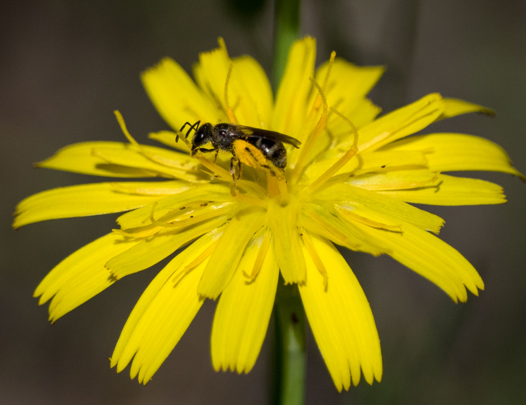 Bee 2 = smaller (possibly  Lassioglossum sp. - Family: Halictidae)