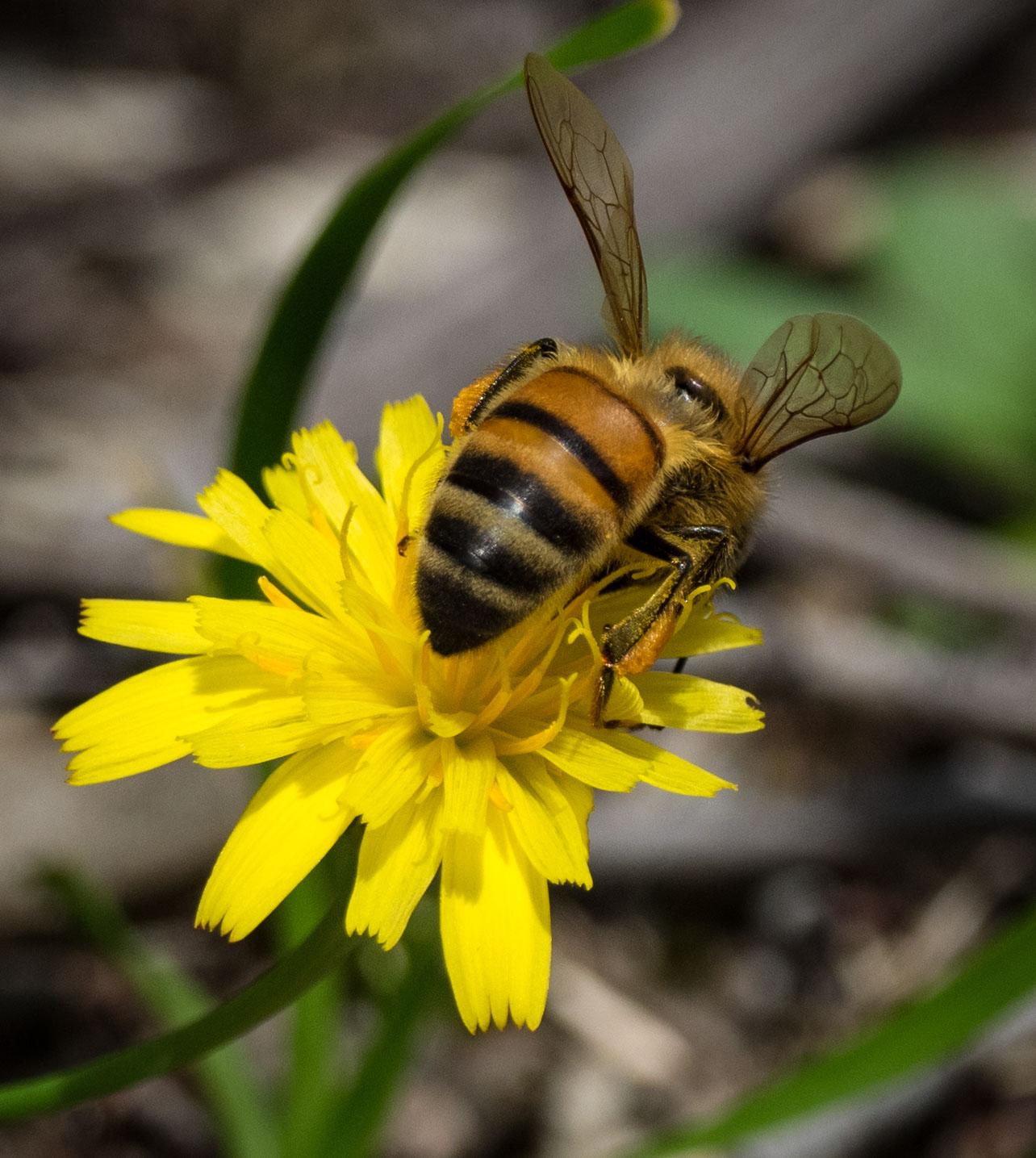 Apis mellifera  (European Honey Bee) (Family: Apidae)