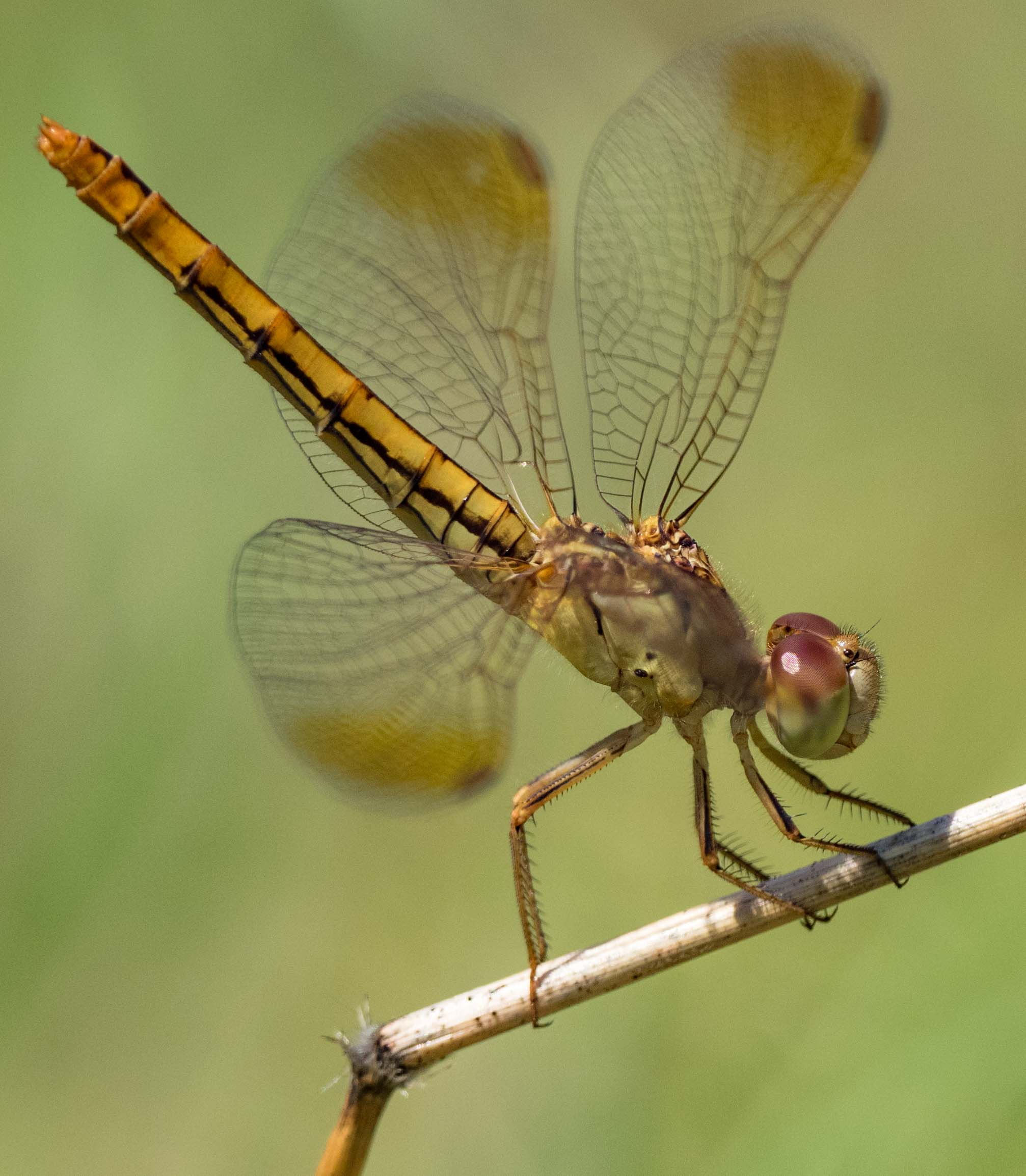 Diplacodes haematodes  (Scarlet Percher) - female