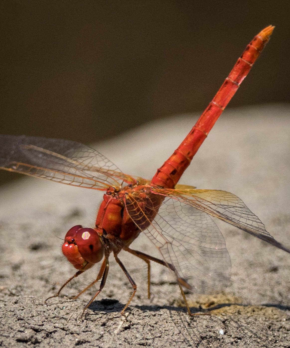 Diplacodes haematodes  (Scarlet Percher) - male