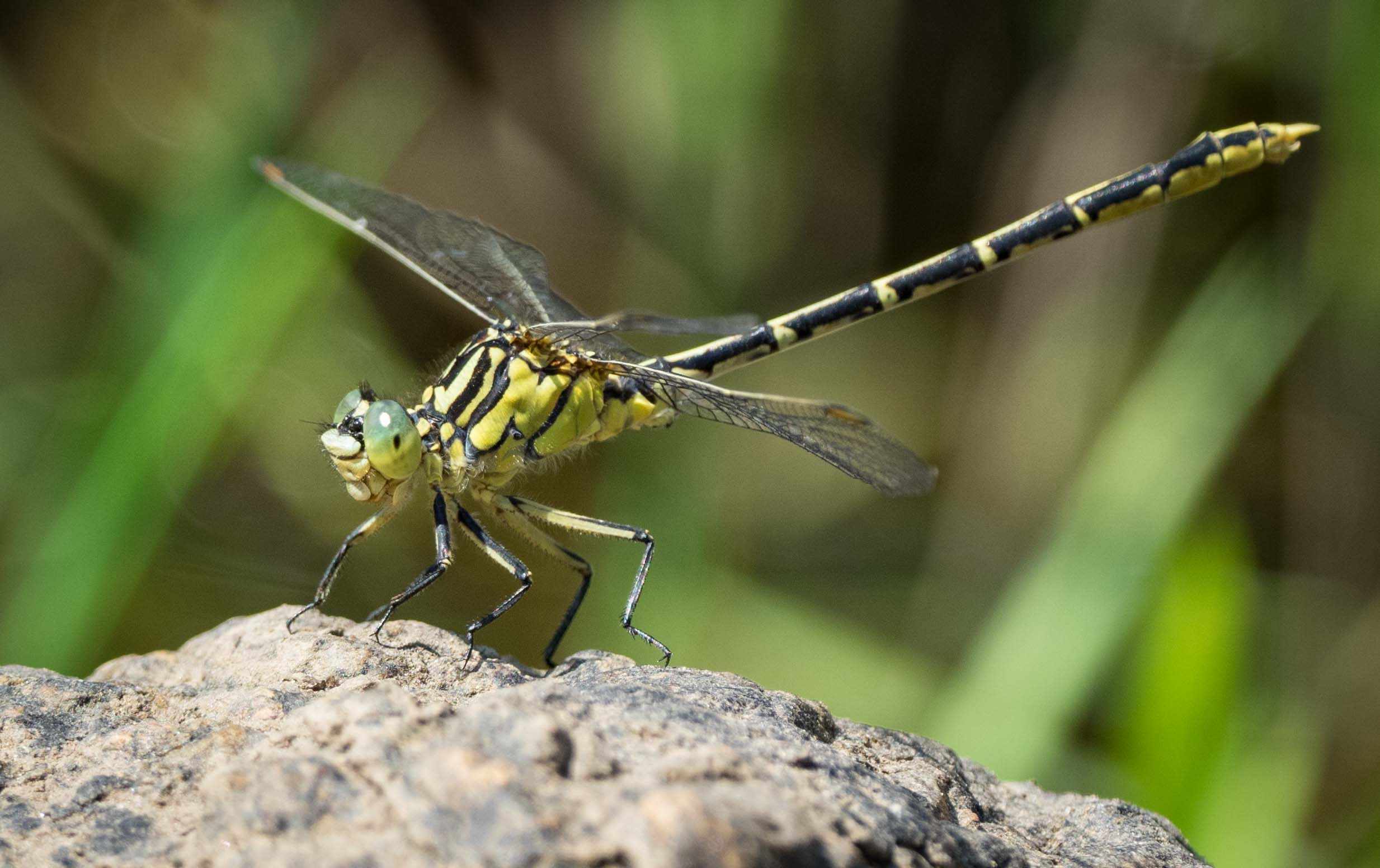 Austrogomphus guerini  (Yellow-striped Hunter)   - male