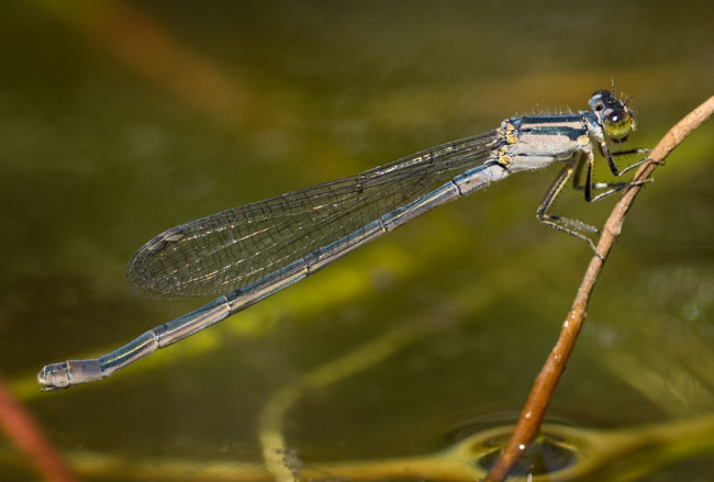 Ischnura heterosticta  (Common Bluetail) - female