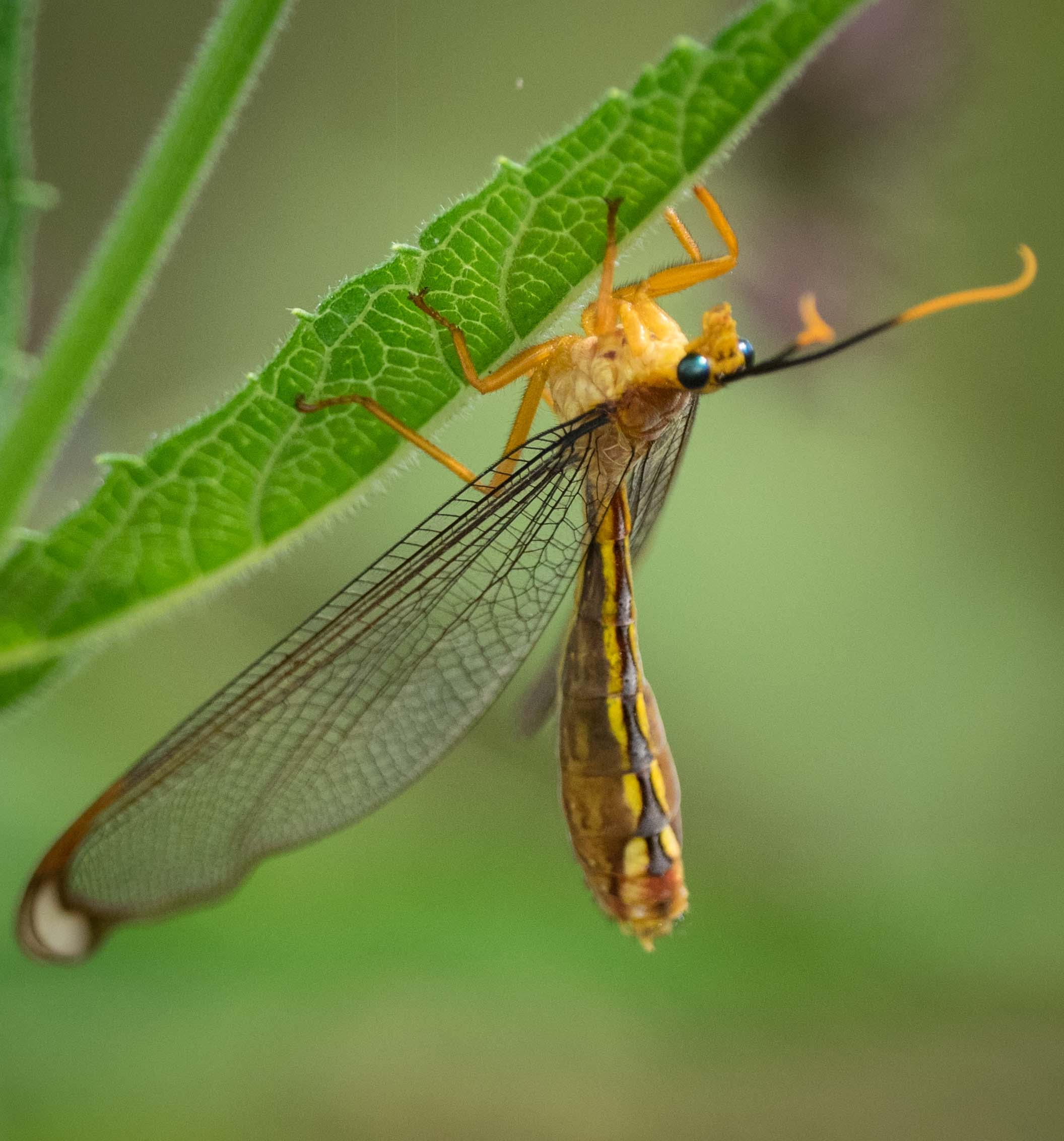 Blue-eyed Lacewing