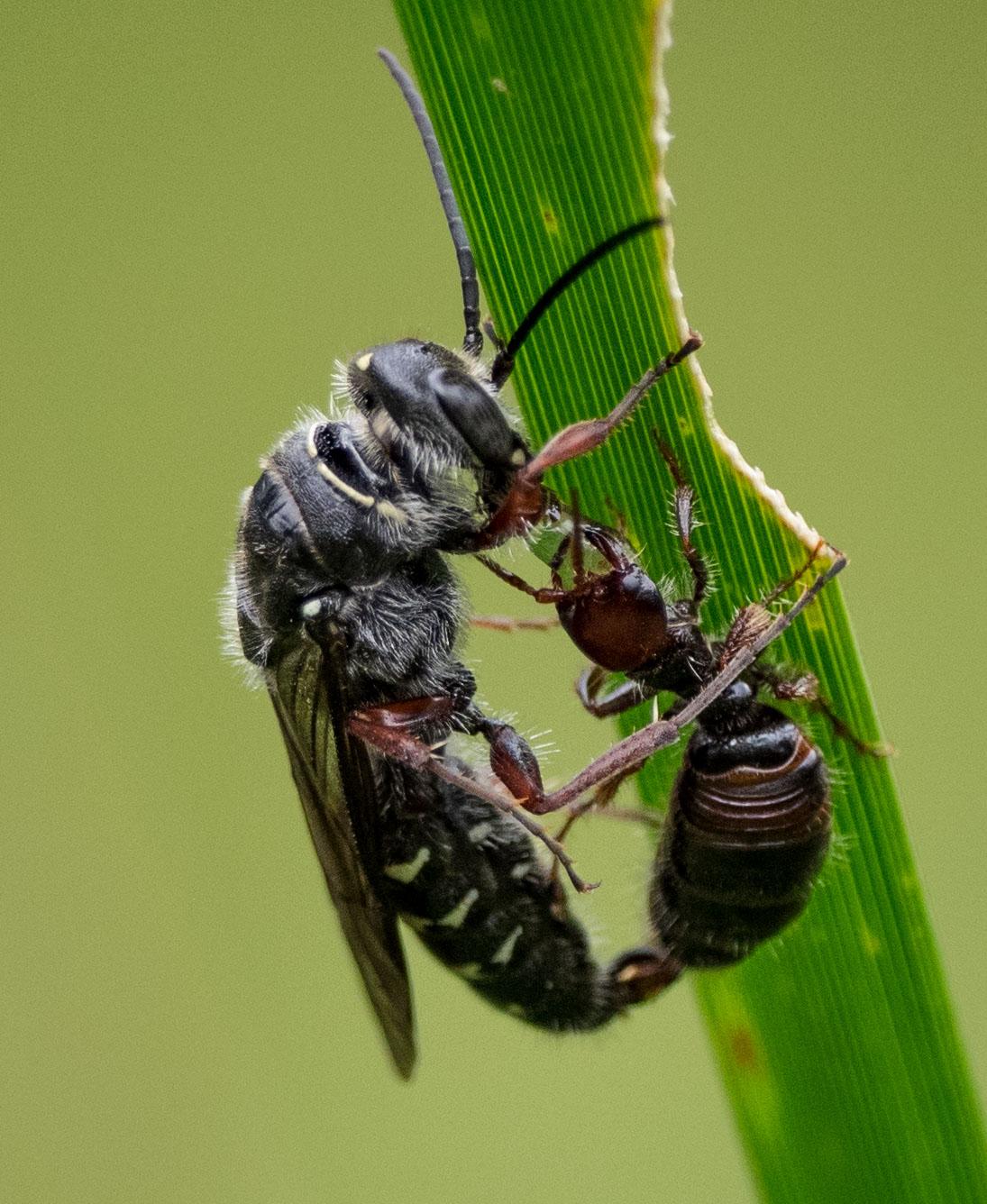 Flower wasps