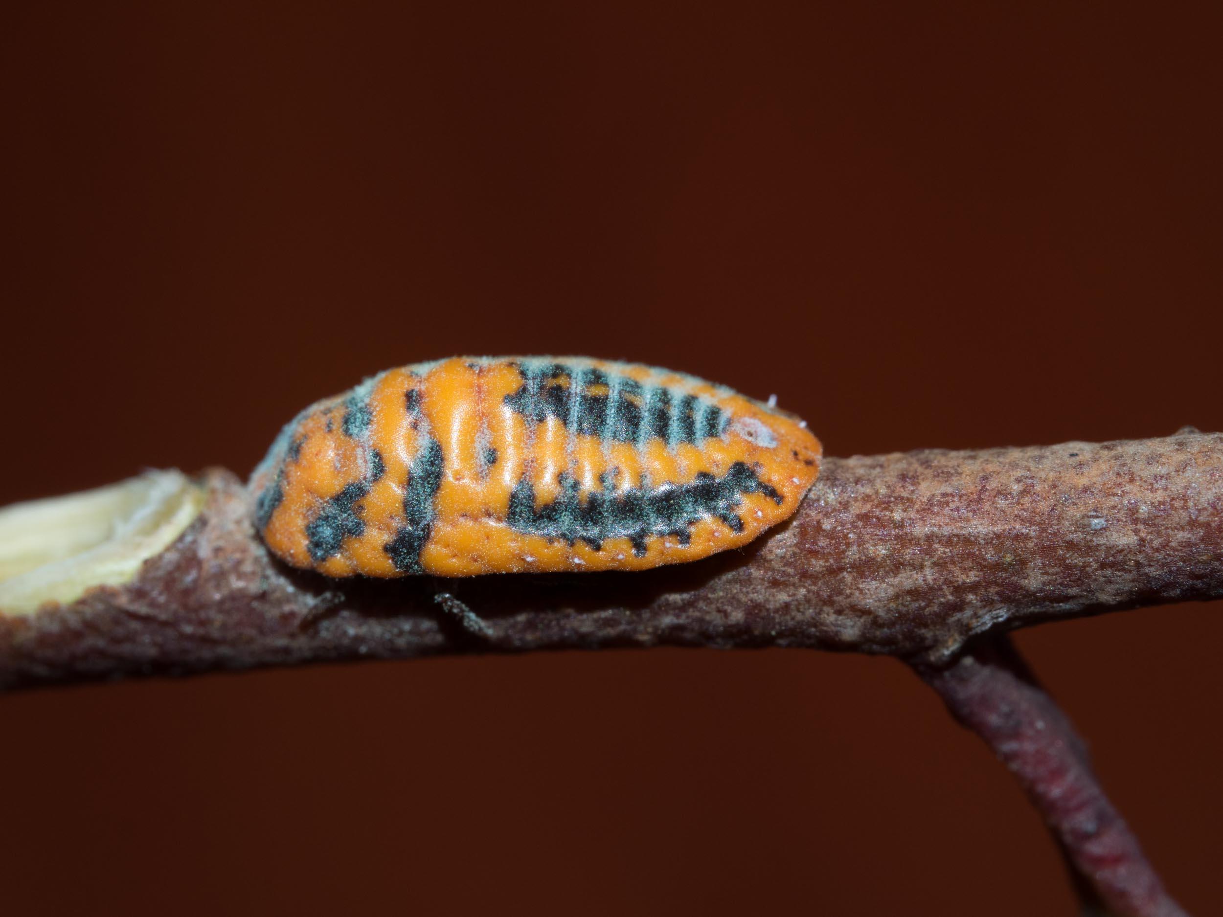A Snowy Ball Large Mealybug, Monophelbulus sp.  Order: Hemiptera; Family: Monophlebidae