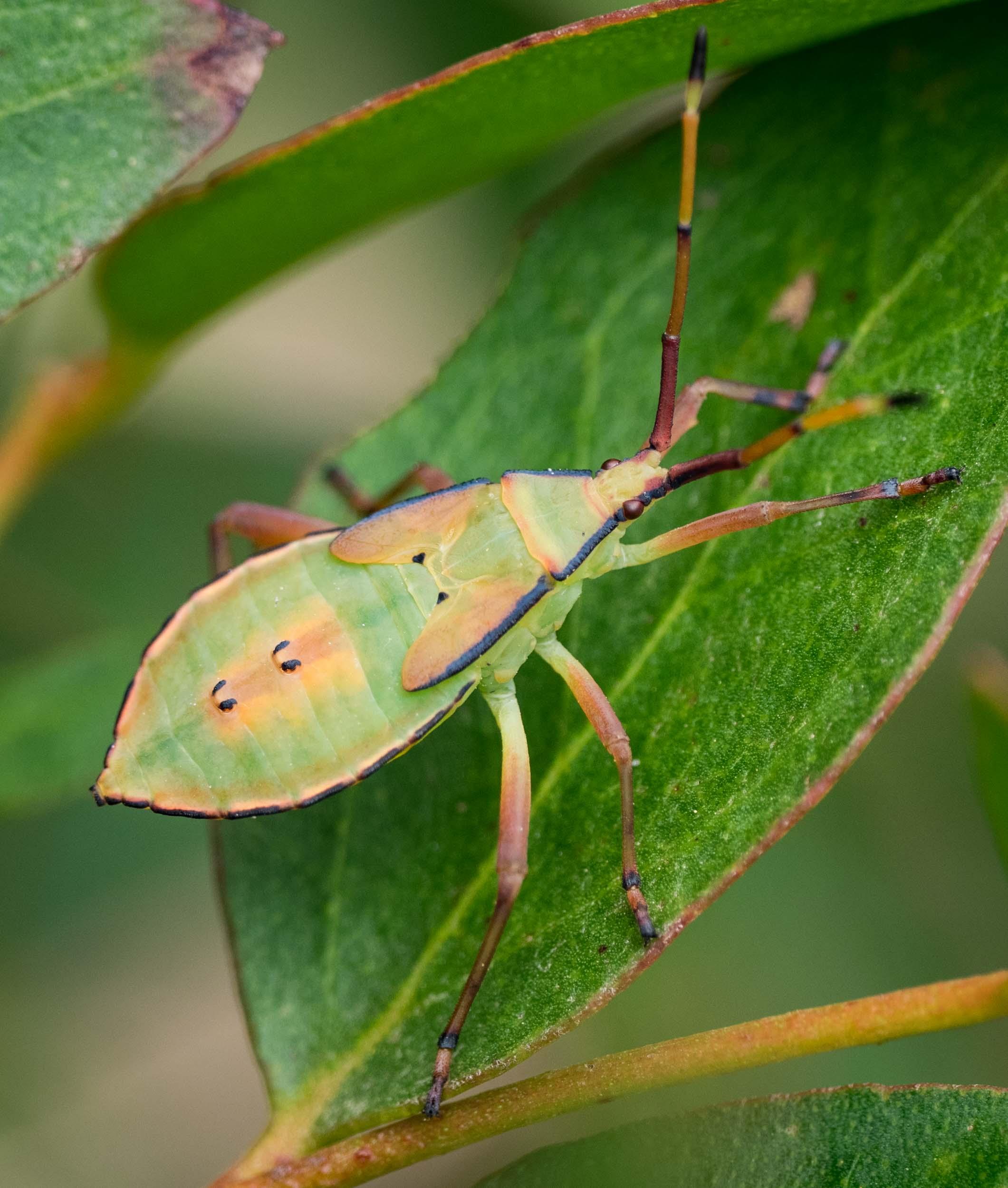Tip-wilting Bug,  Amorbus sp .  Order: Hemiptera; Family: Coreidae