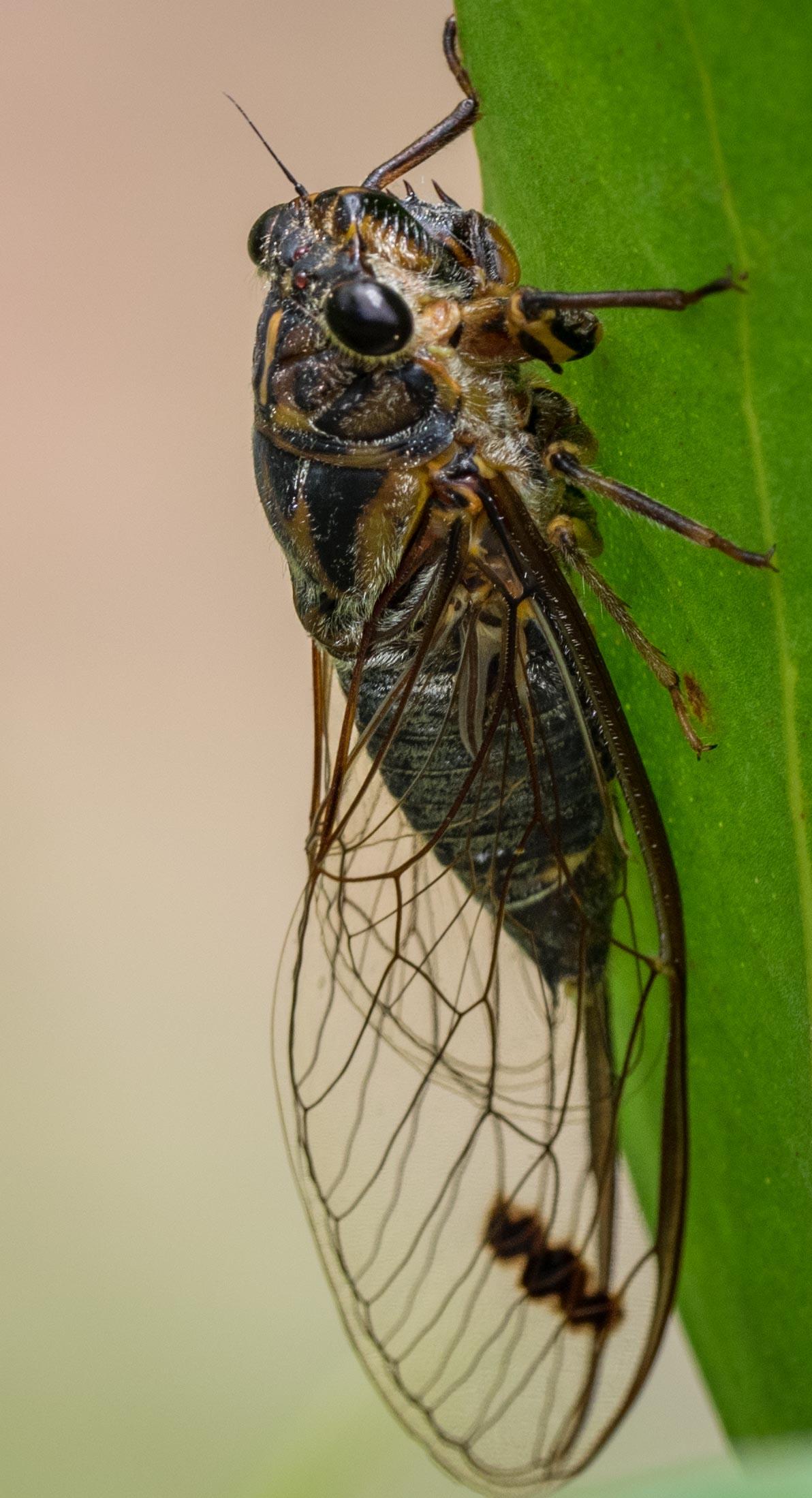 Double-spotted Cicada,  Galanga labeculata   Order: Hemiptera; Family: Cicadidae