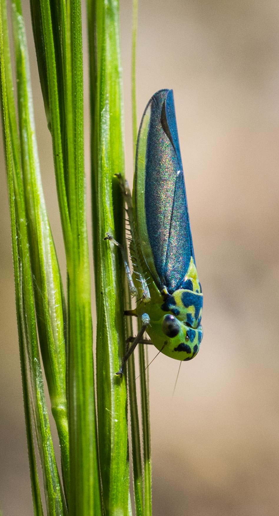 Blue and Green Leafhopper,  Ishidaella sp.   Order: Hemiptera; Family: Cicadellidae