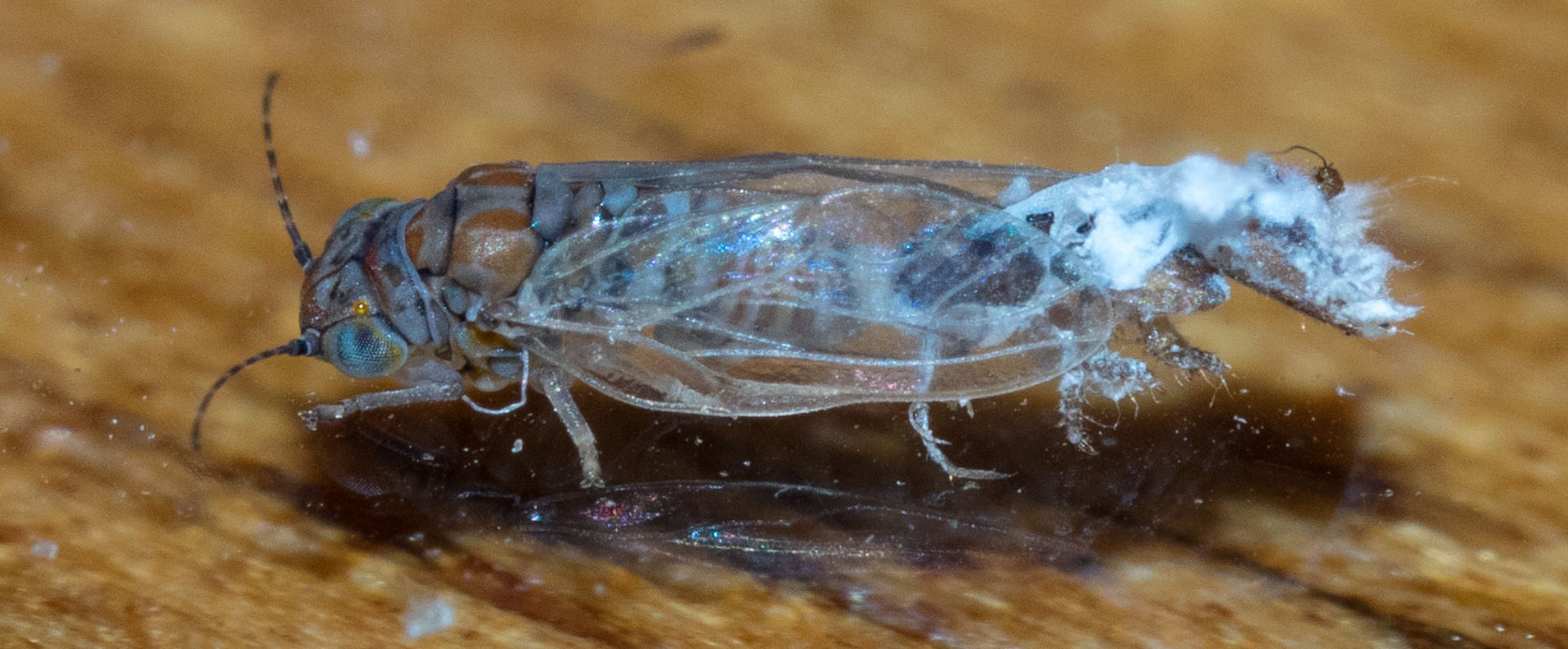 I haven't identified this guy yet, but I am confident it belongs to the subfamily Spondyliaspidinae. The shell from its last moult is still attached to its rear end. Update 19/2/18 This is Phellopsylla sp. Its nymphs actually live on the stems of  Eucalyptus globoidea, not on the leaves.