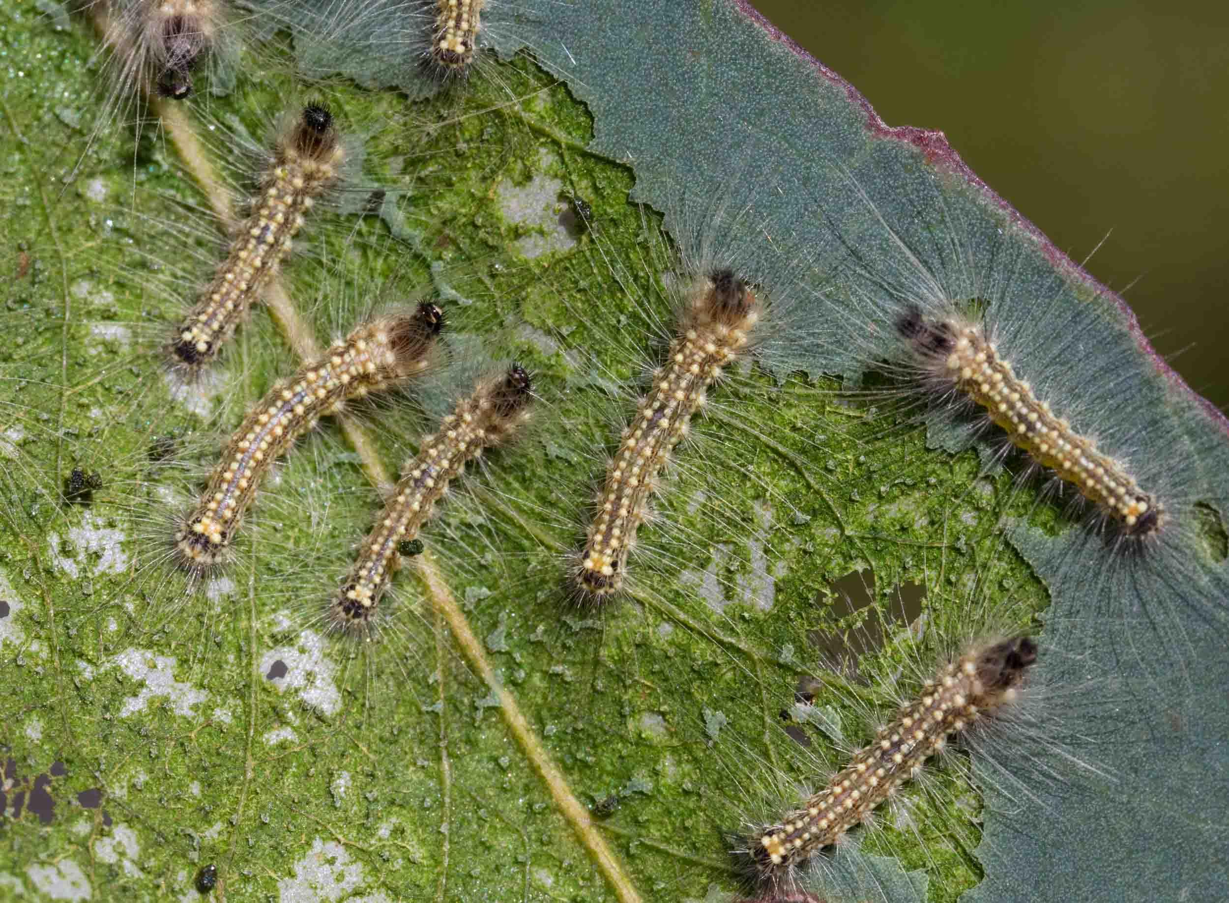 The aptly named Gum Leaf Skeletoniser caterpillar,  Uraba lugens .