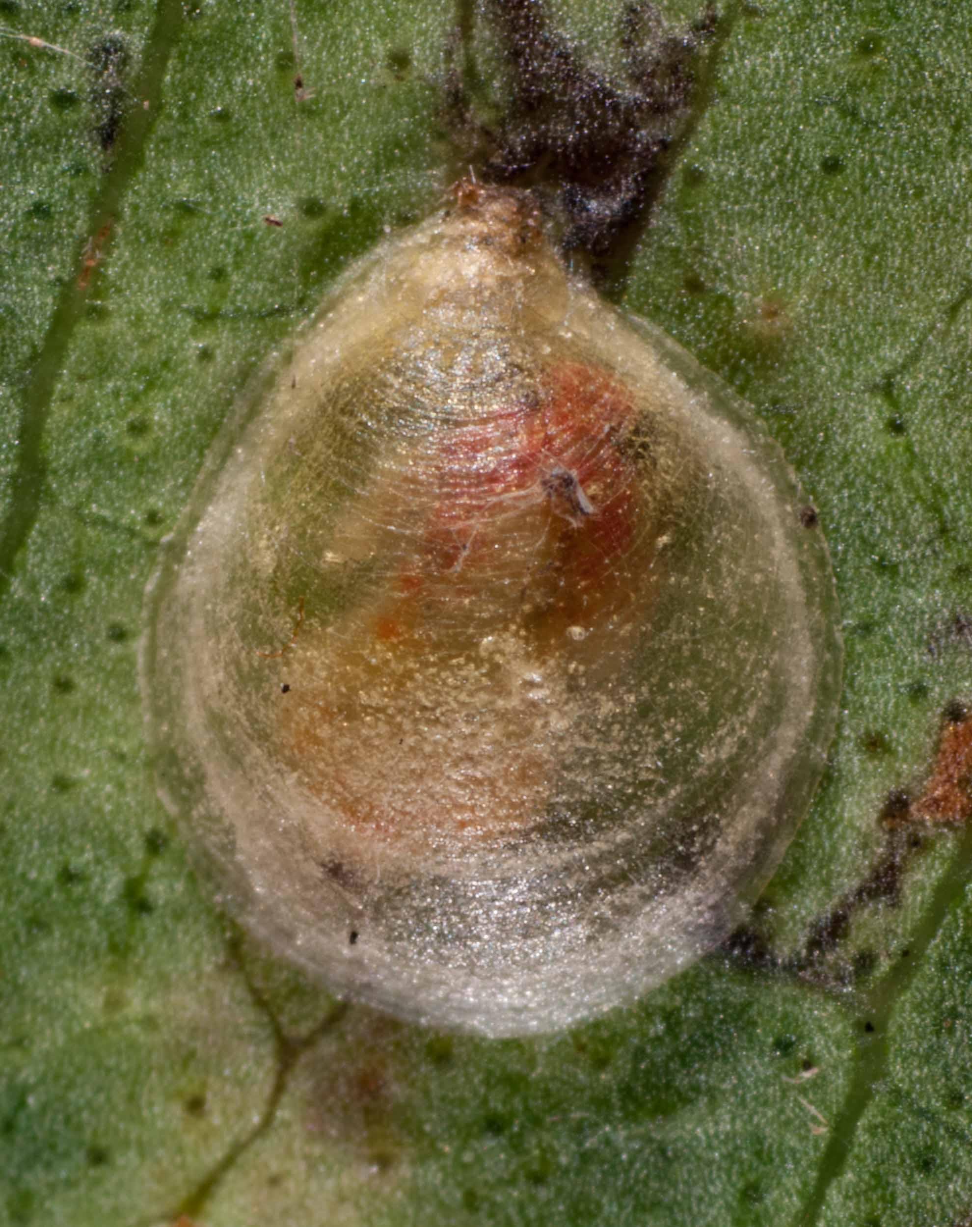 The  Hyalinaspis pallinidinota  nymph inside its lerp
