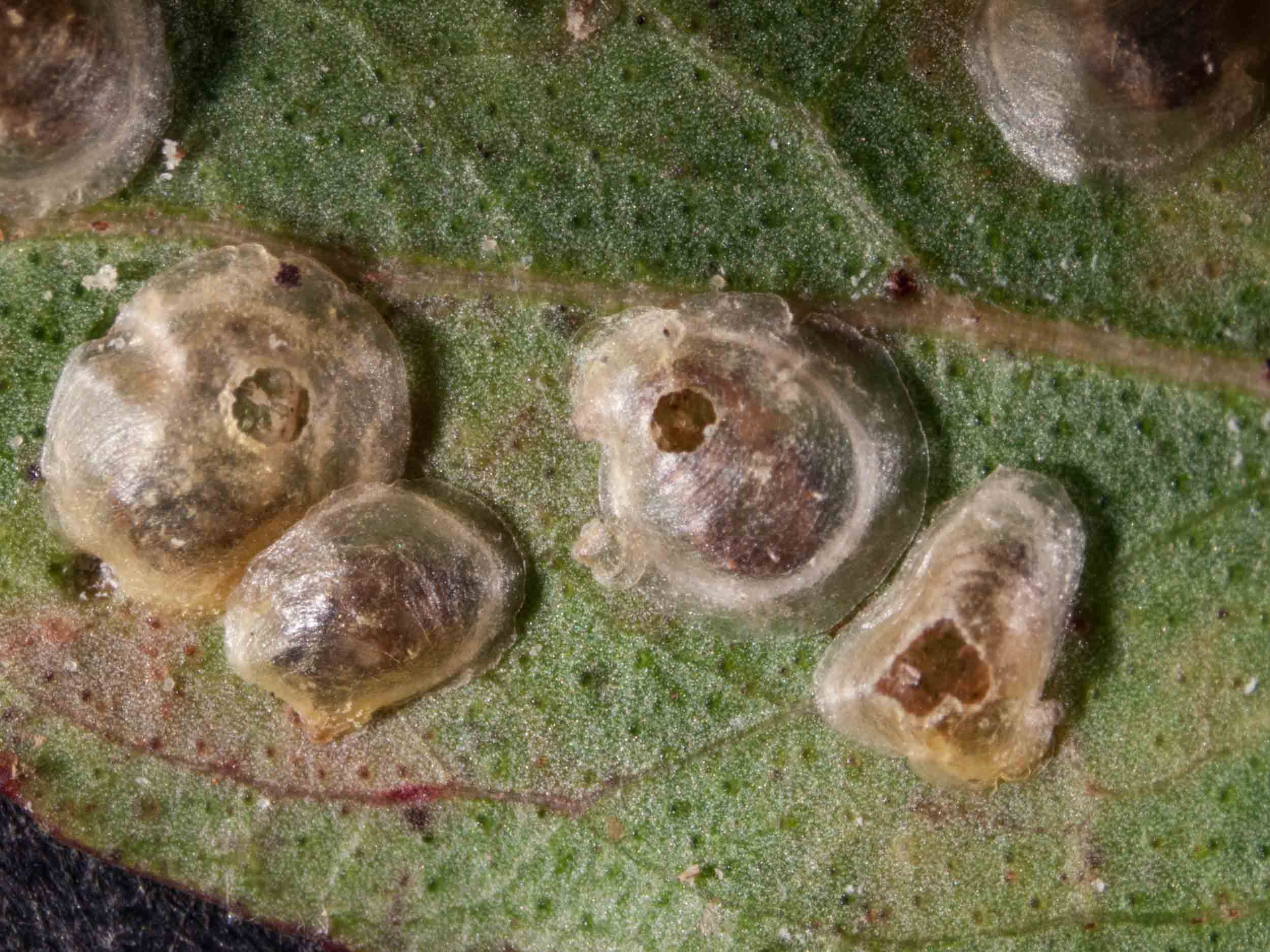 Hyalinaspsis  lerps with holes made by escaping wasps