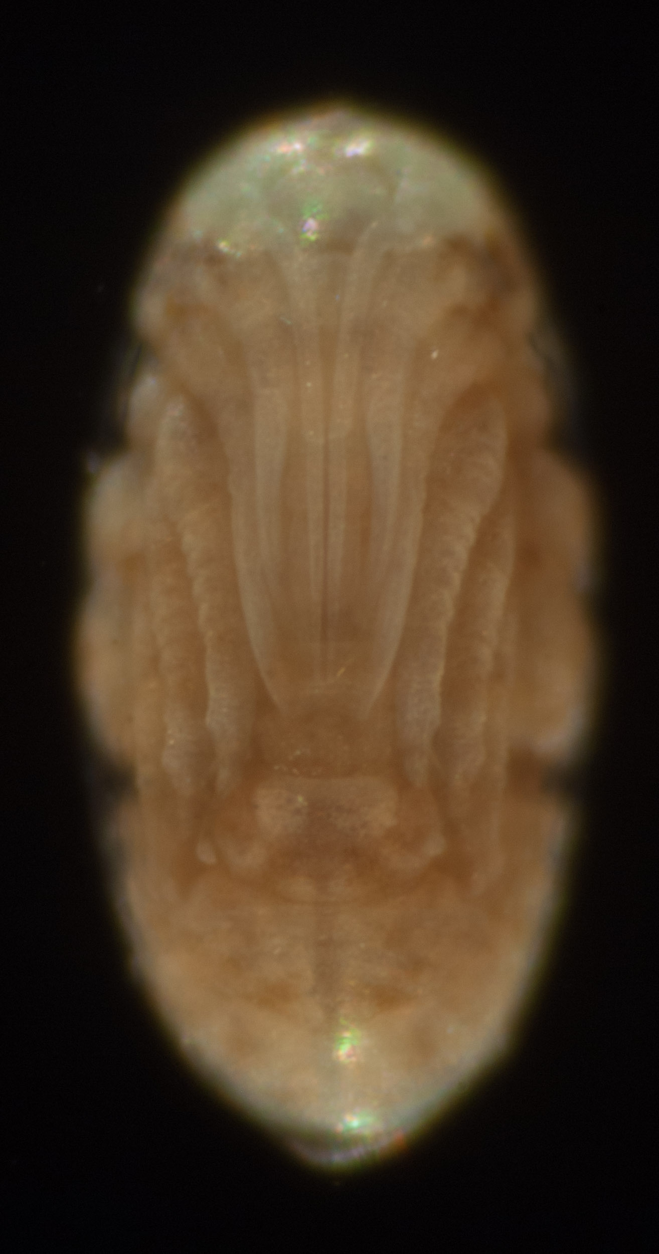A further increase in length of the antennae, mouthparts and legs.The embryo is not far off hatching. Such a pretty thing!
