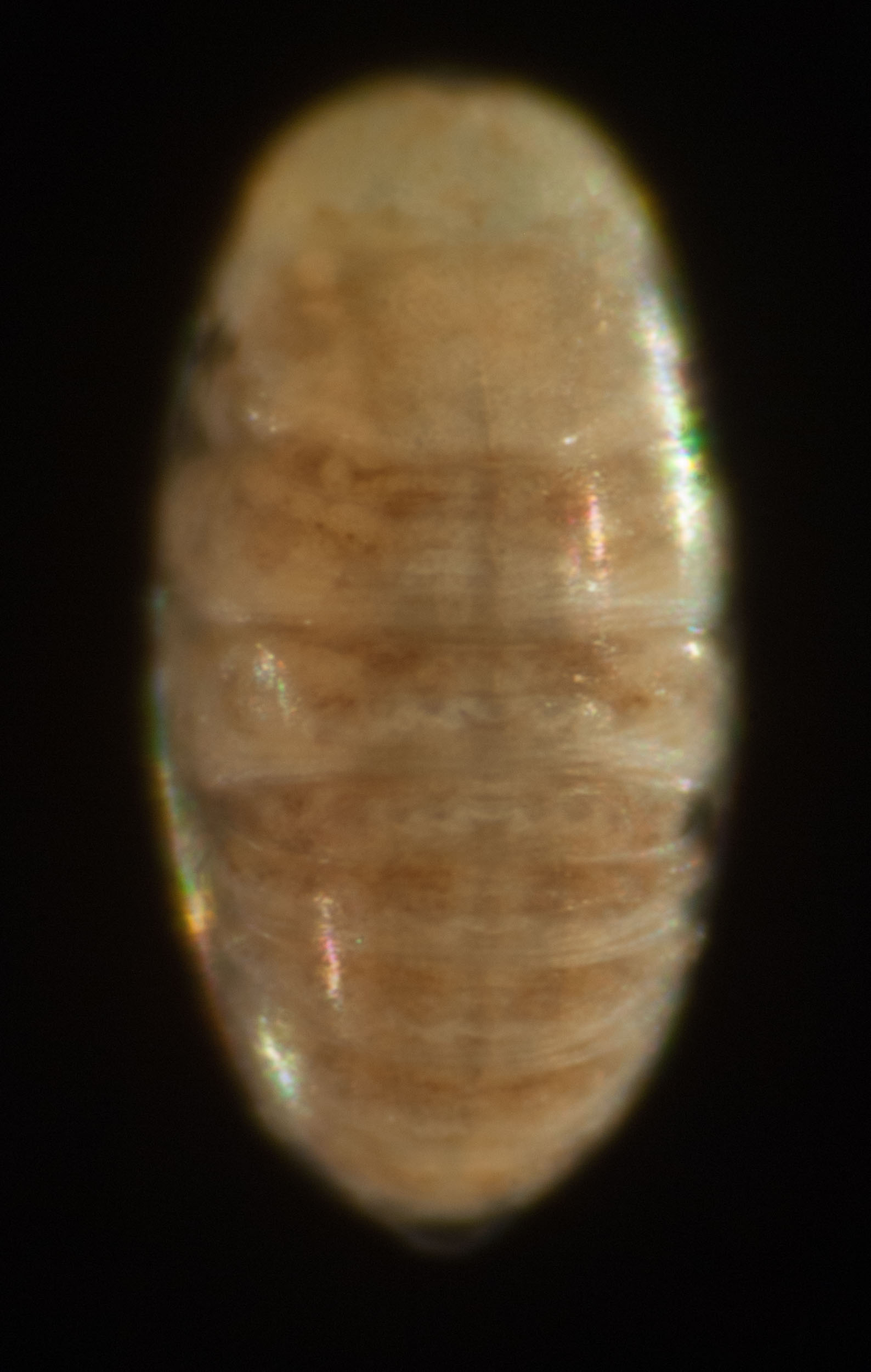 The same embryo viewed from the back shows that its flanks have grown around the yolk and fused to form a complete body tube. The yolk is now contained within the embryonic gut. This will nourish the larva for the first day or so after hatching. The dark line down the dorsal midline is the developing heart.