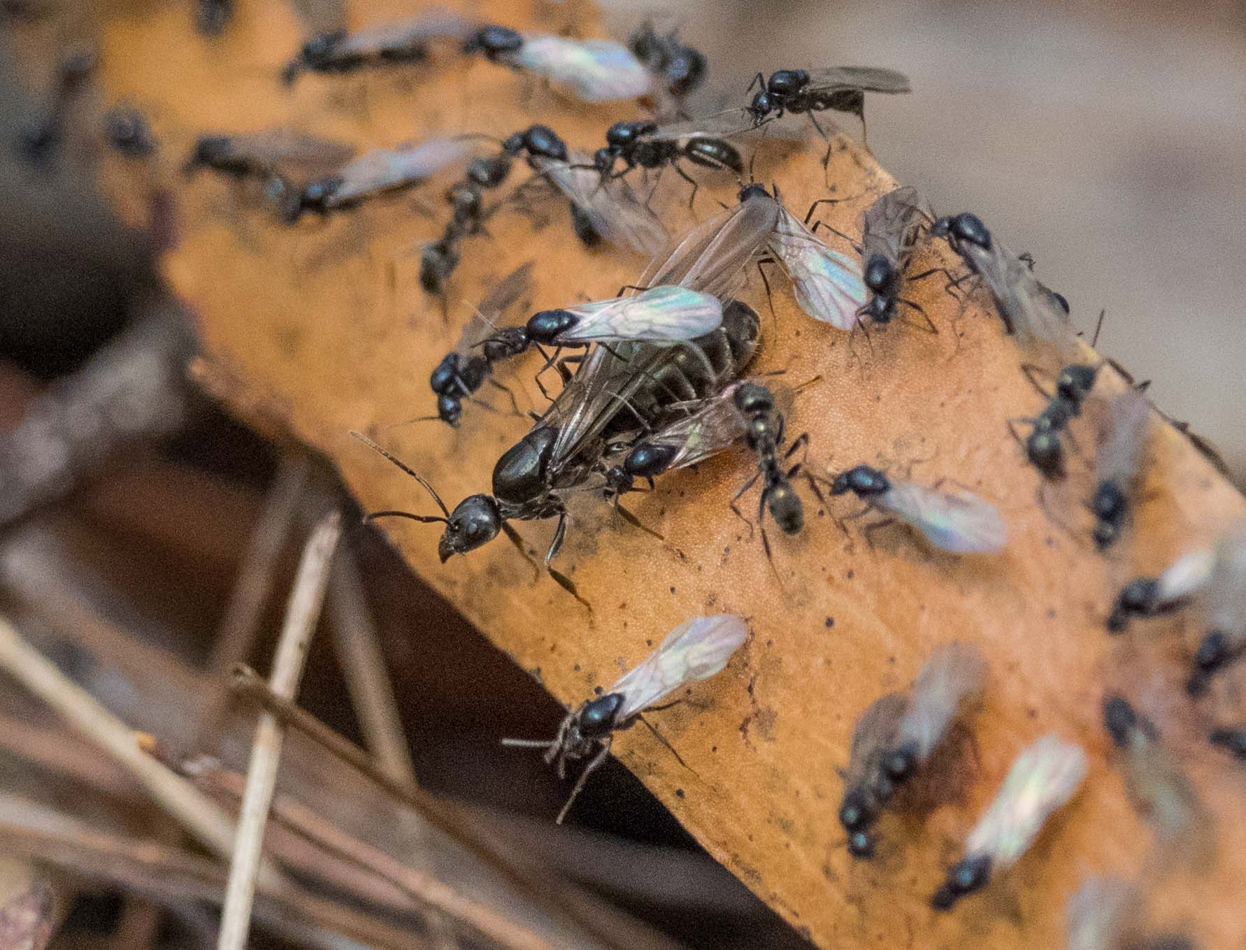 A single queen surrounded by alate males