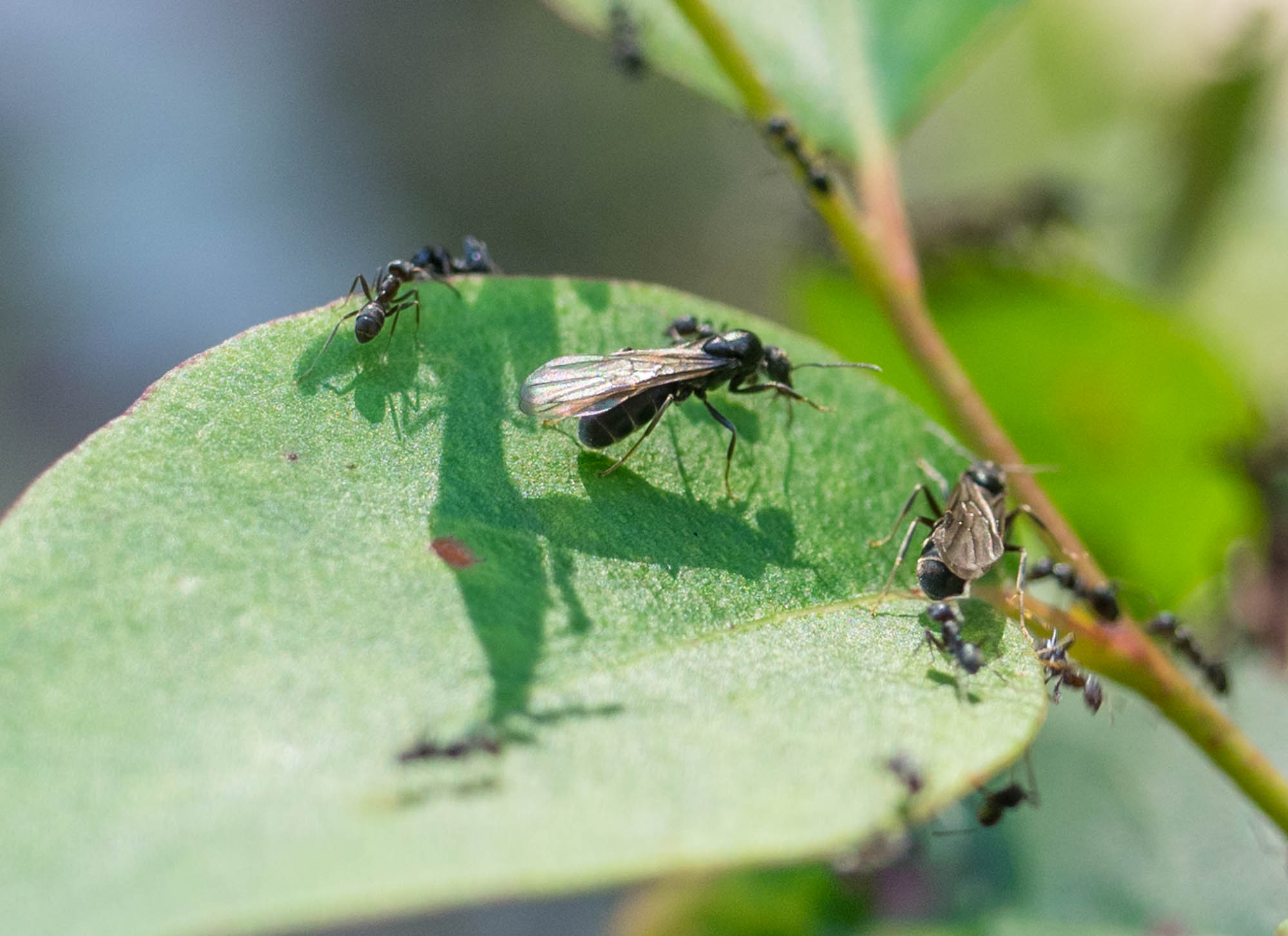 6th April, 2017. Alate  Iridomyrmex rufoniger  ants flying from leaves on a  Eucalyptus  sapling.