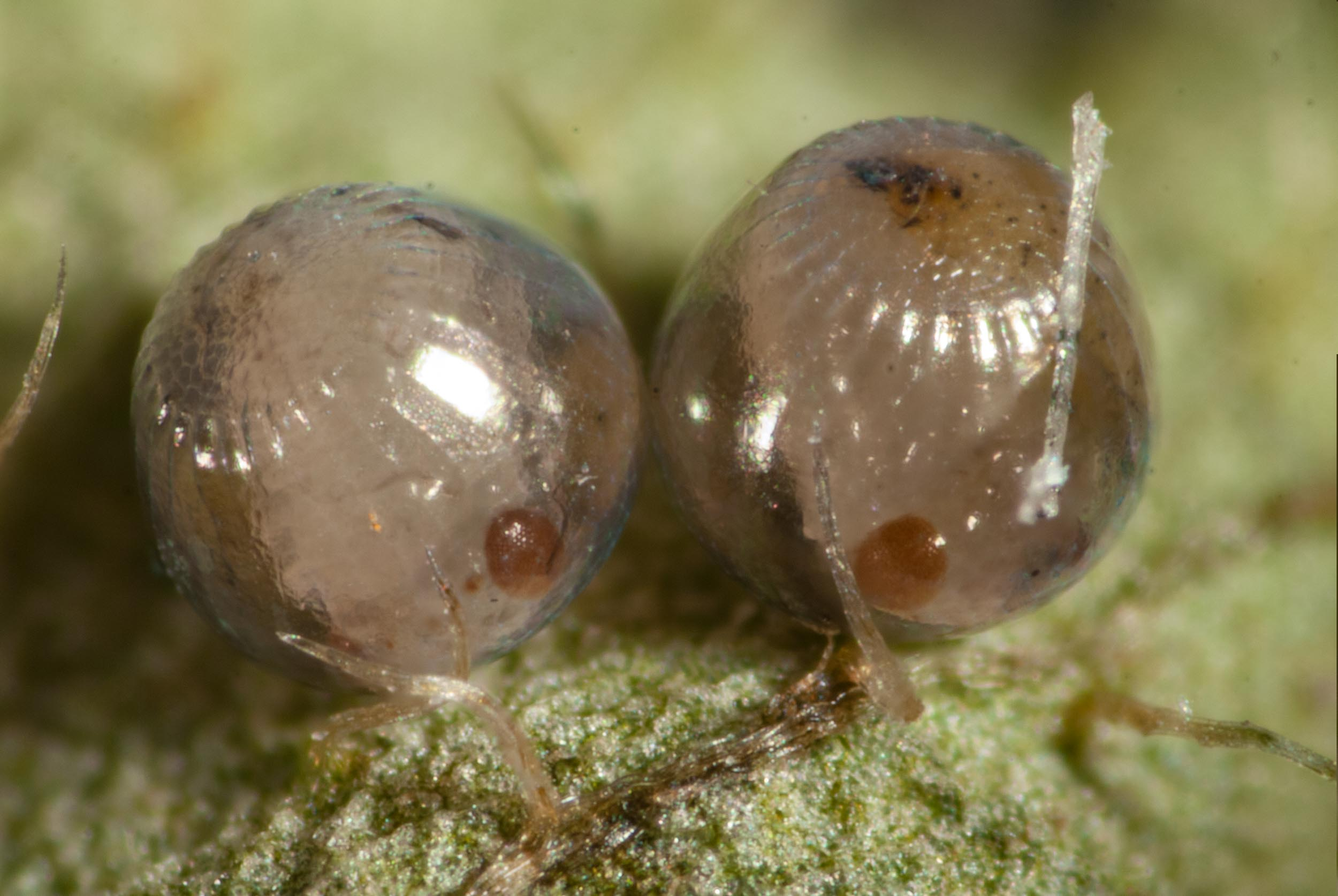 Day 10 - orange-brown compound eyes can be seen on each embryo!