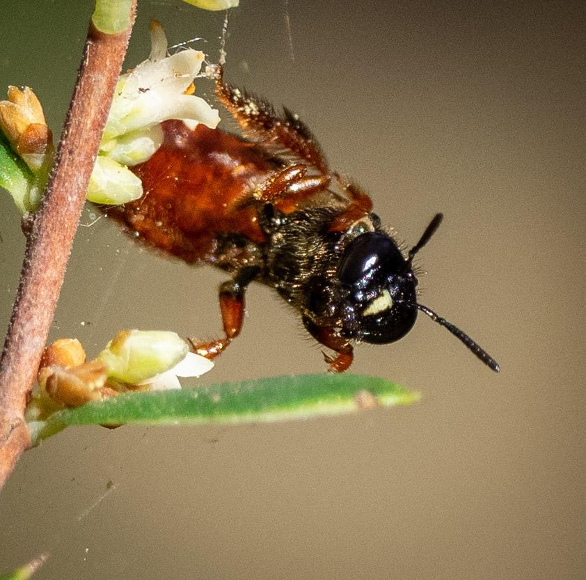 Bee ID: c