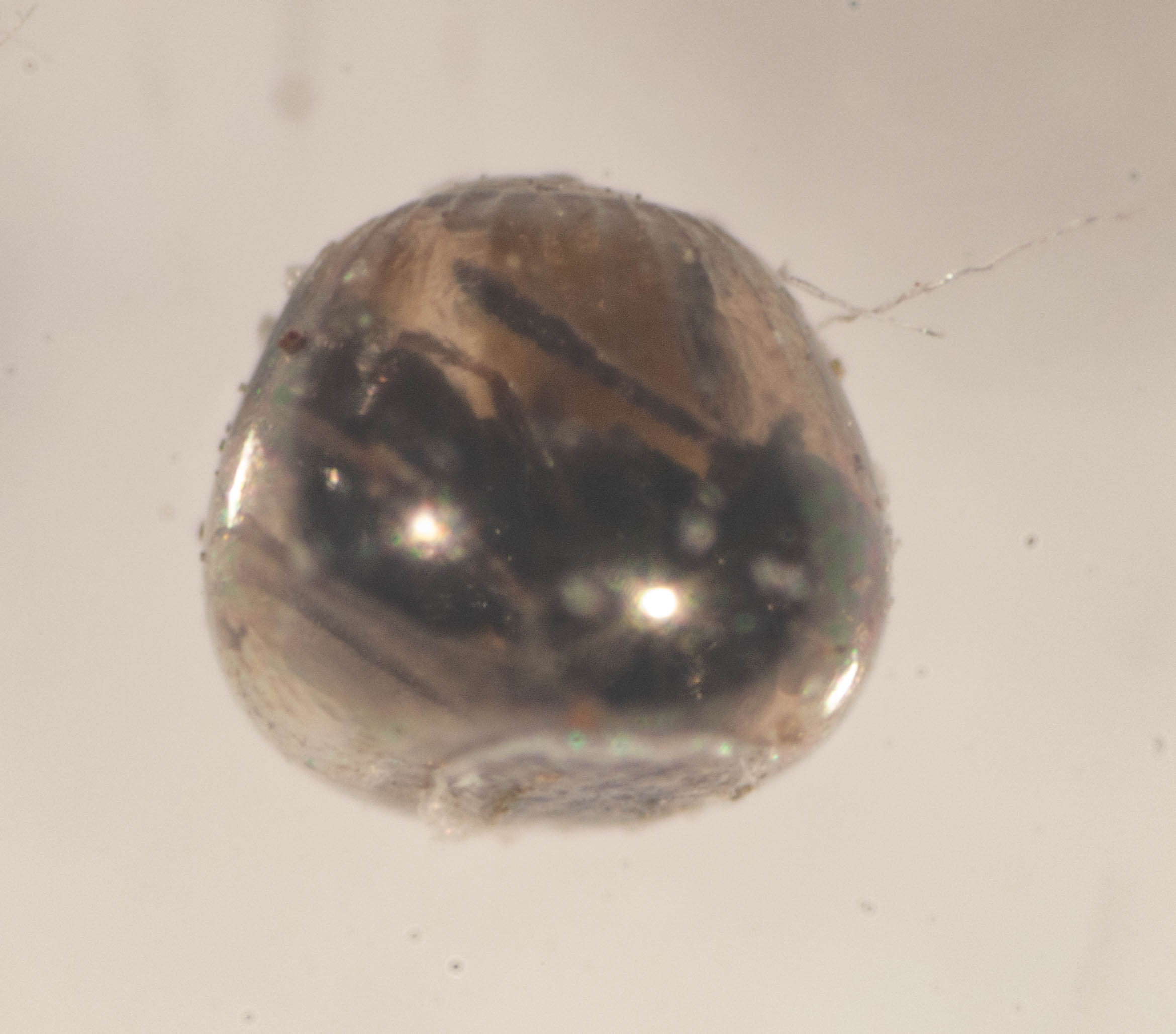 Day 17. The antennae have now turned black and changed shape. Pale wings can be seen below the dark body.