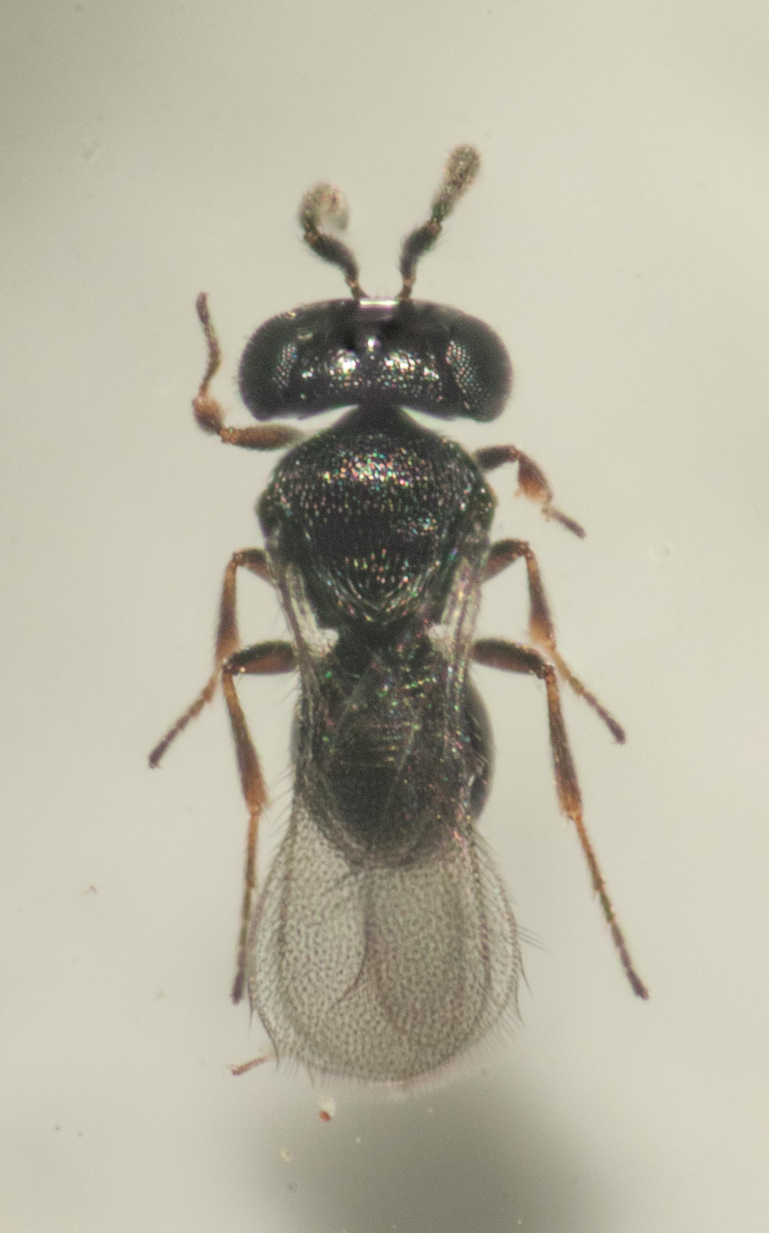 One of the wasps after it had cleaned itself up.