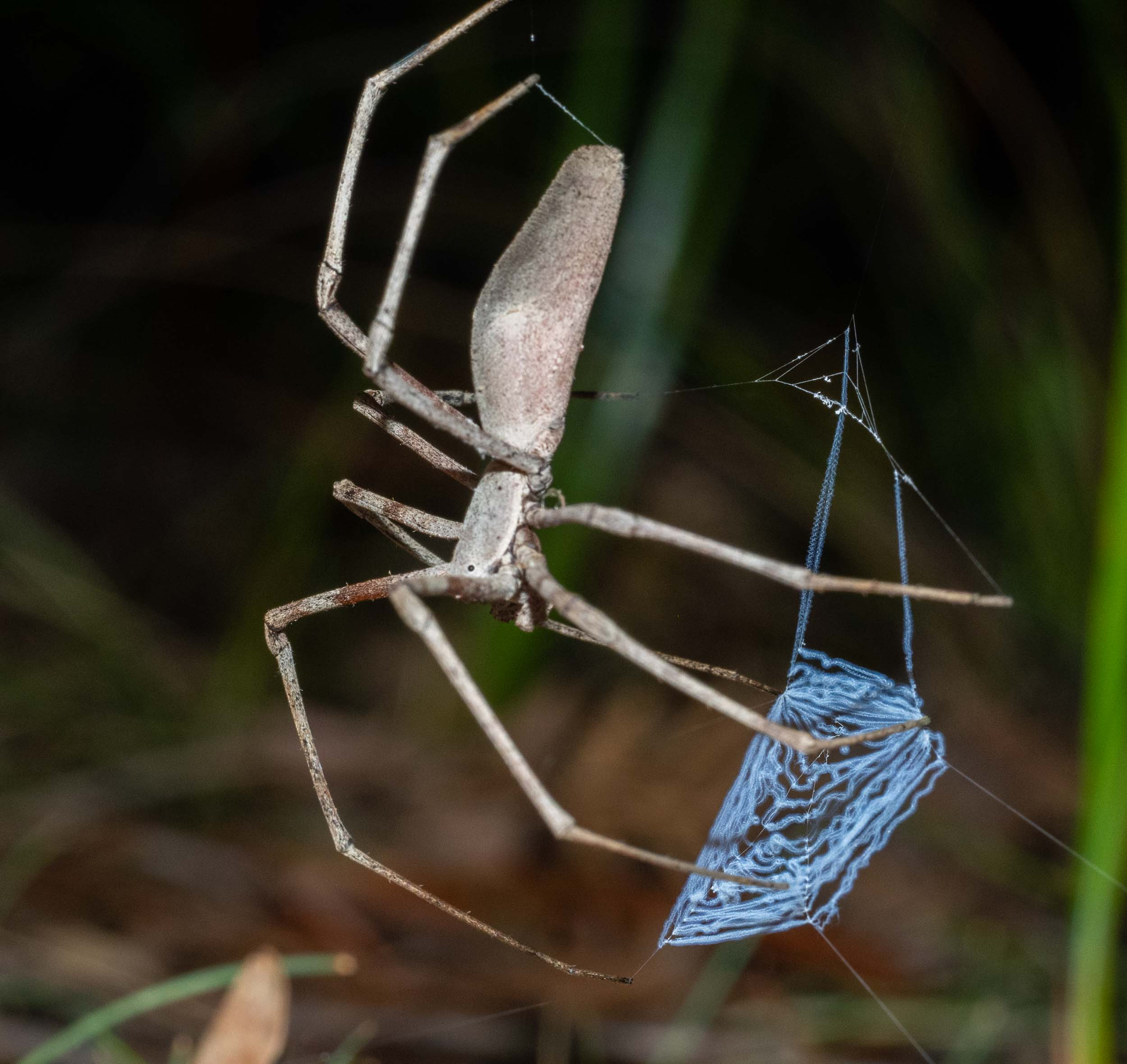 I've focussed on the net in this shot. Note the special coiled silk - called cribellate silk - which allows the net to be expanded to cover the prey insect.