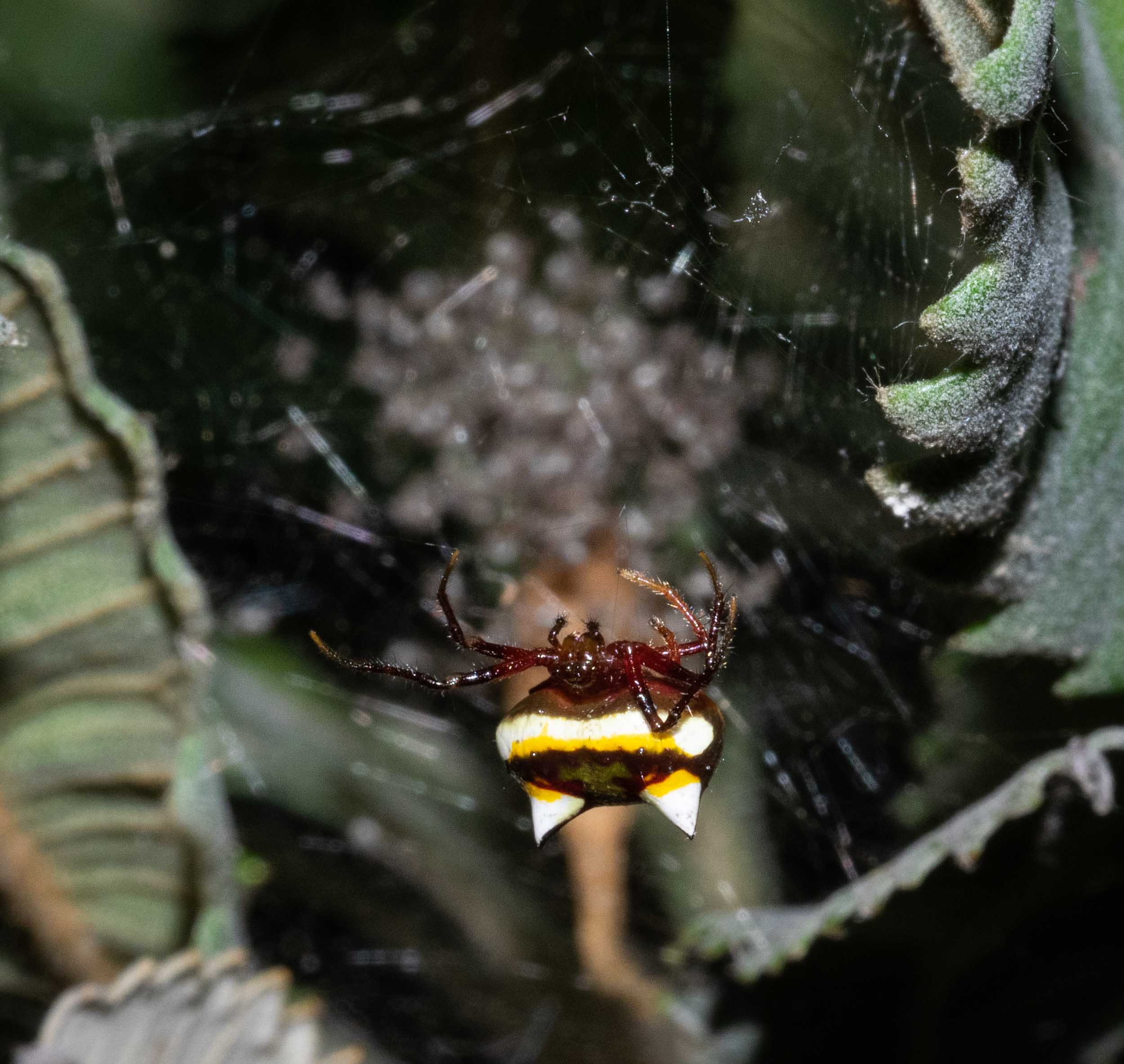Poecilopachys australasia , the 'Two-spined Spider' - mature female