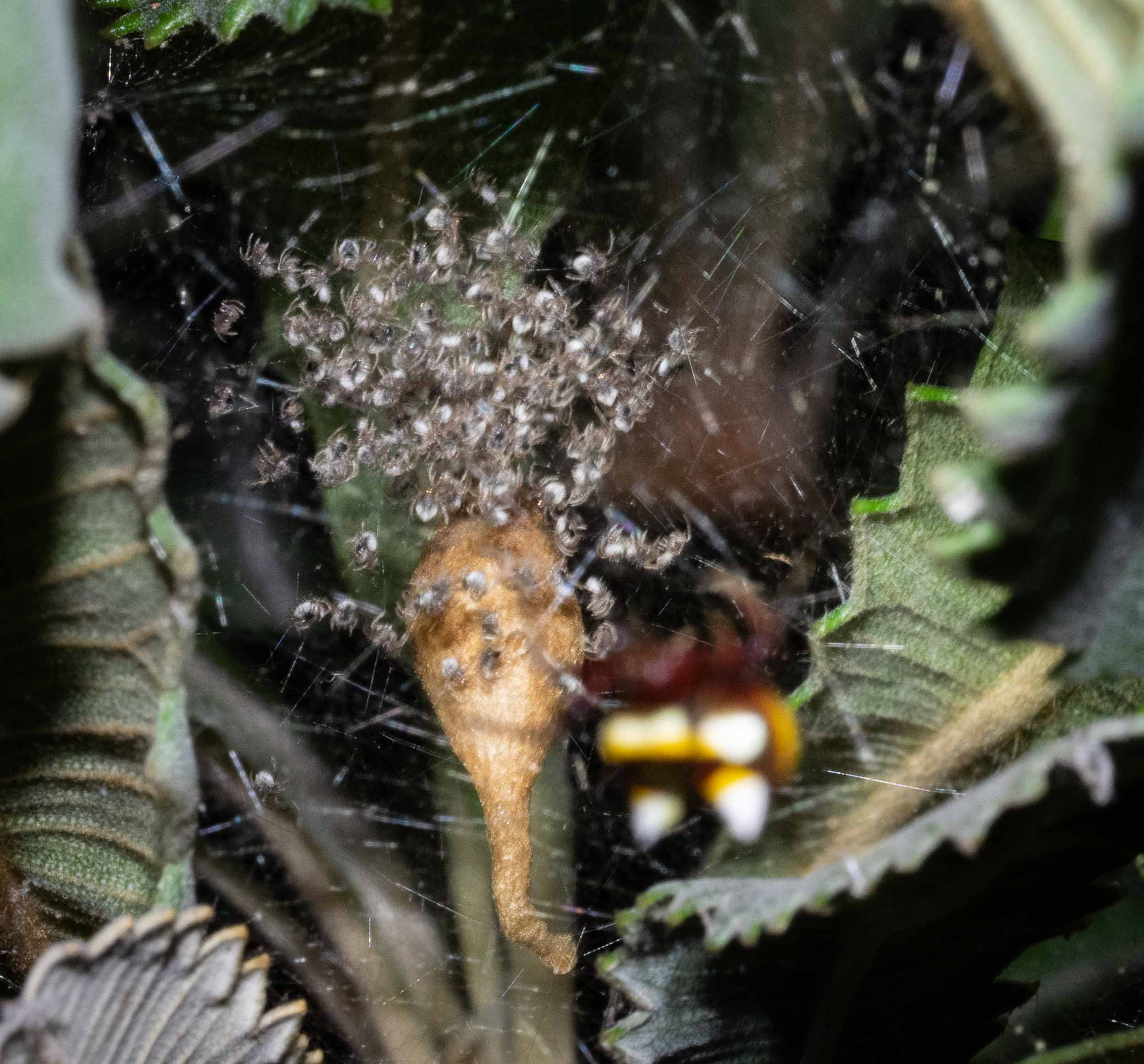 Poecilopachys australasia , the 'Two-spined Spider' - egg case, with recently hatched spiderlings