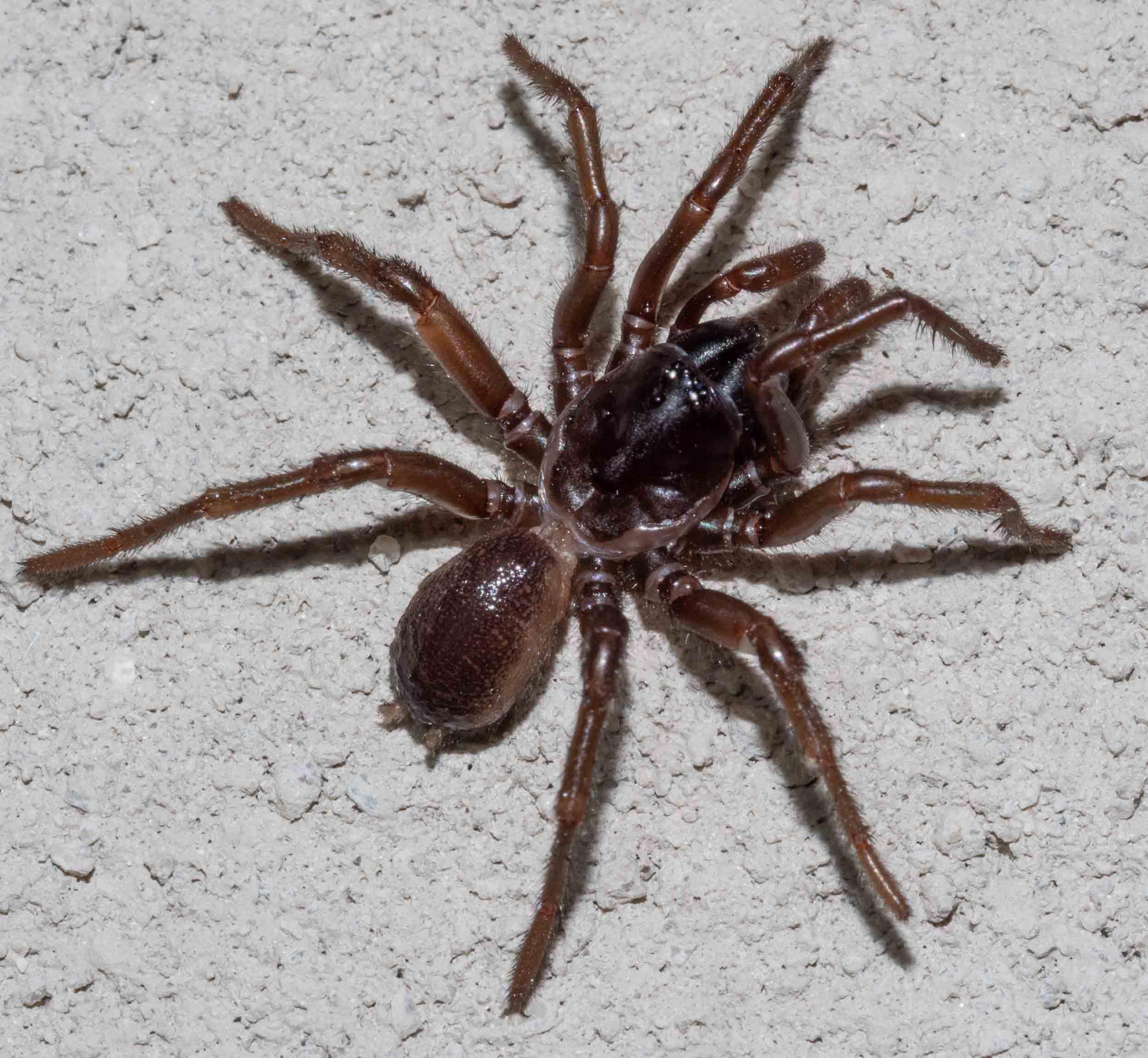 Funnel Web,  Hadronyche nimoola    Family: Hexialidae