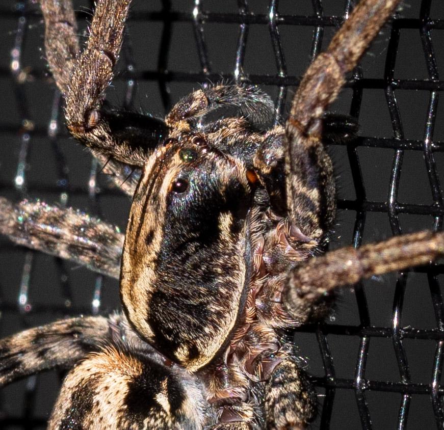 Wolf Spider,  Venatrix sp.  (tbc)   Family: Lycosidae