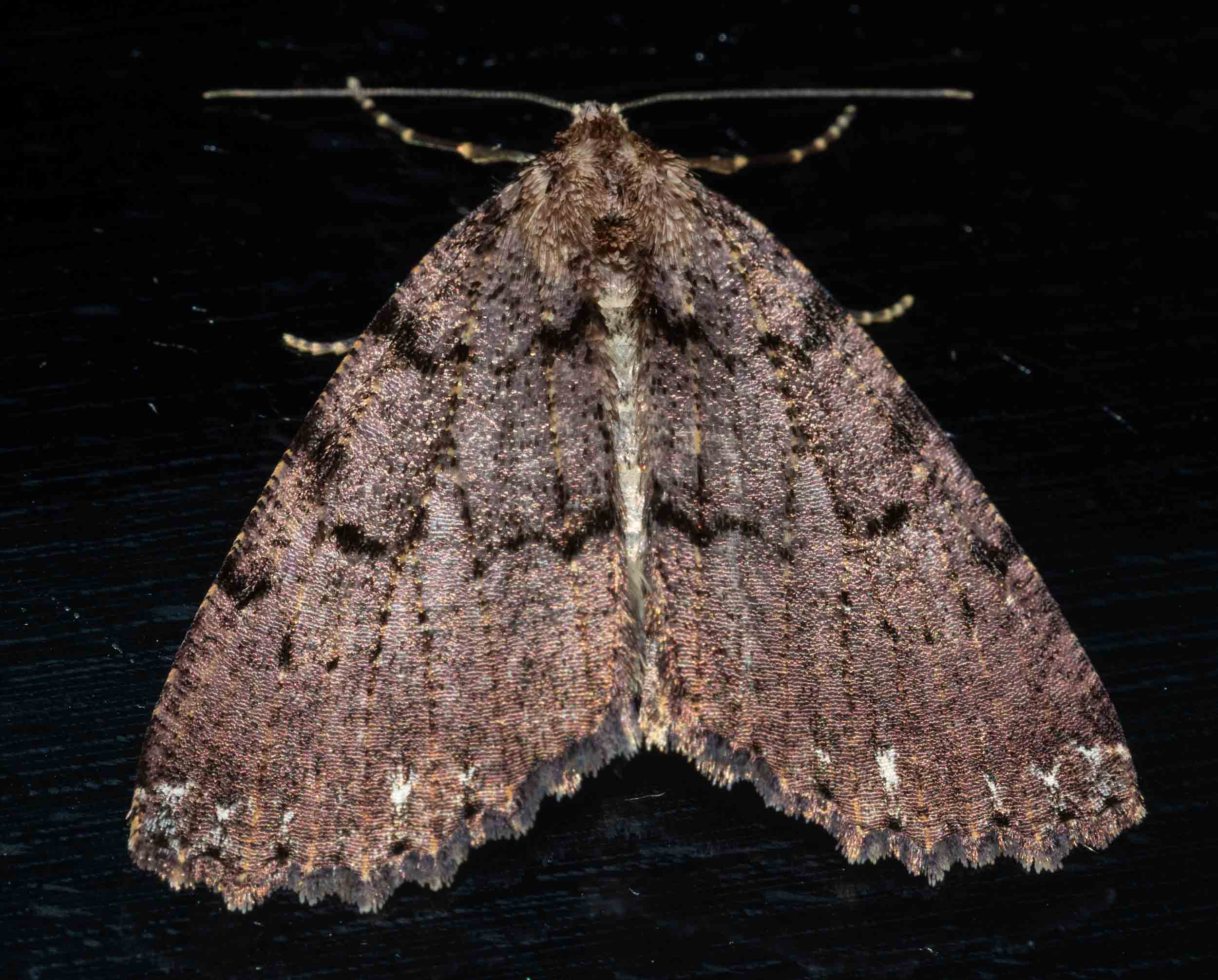 Halone sp.  (?)   Family: Arctiidae  (tbc)