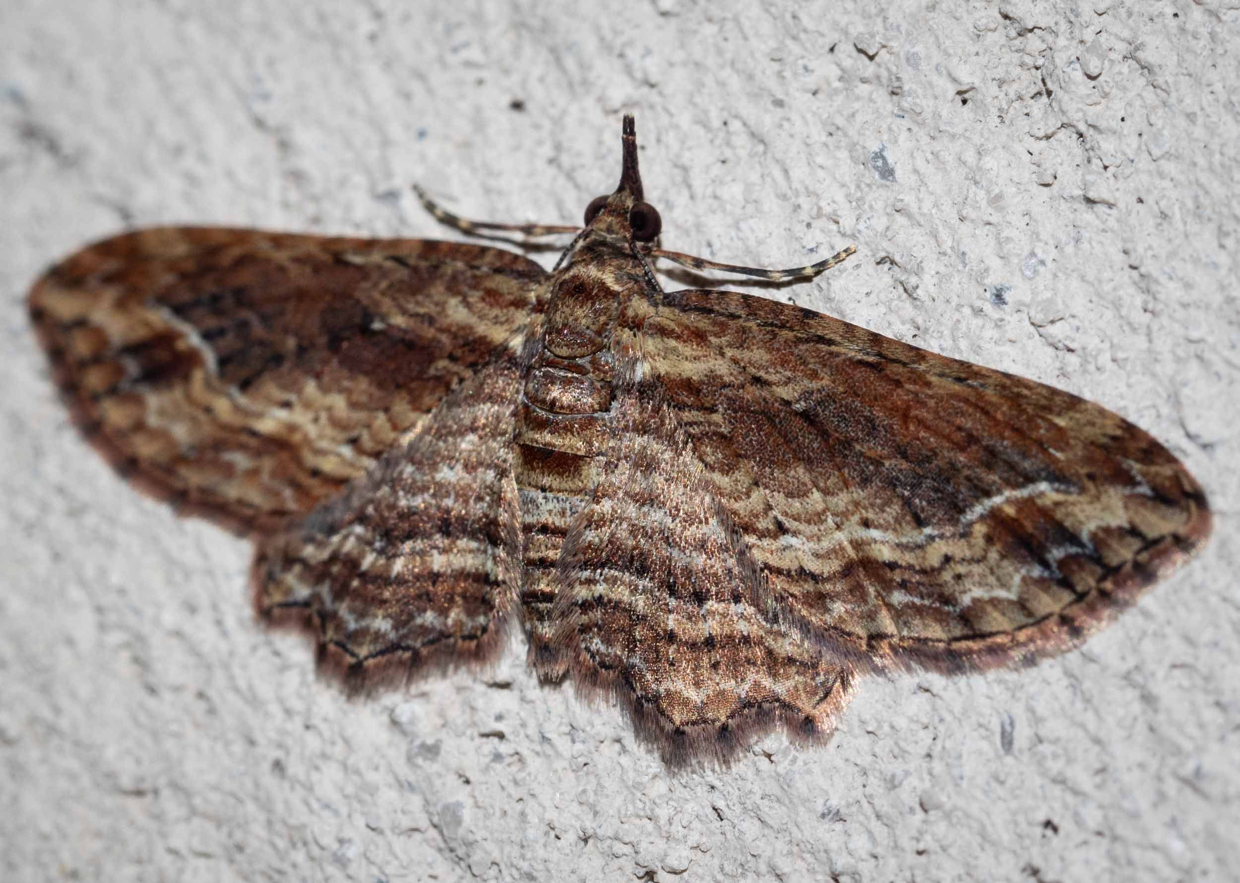 Bark Moth (?)   Family: Geometridae