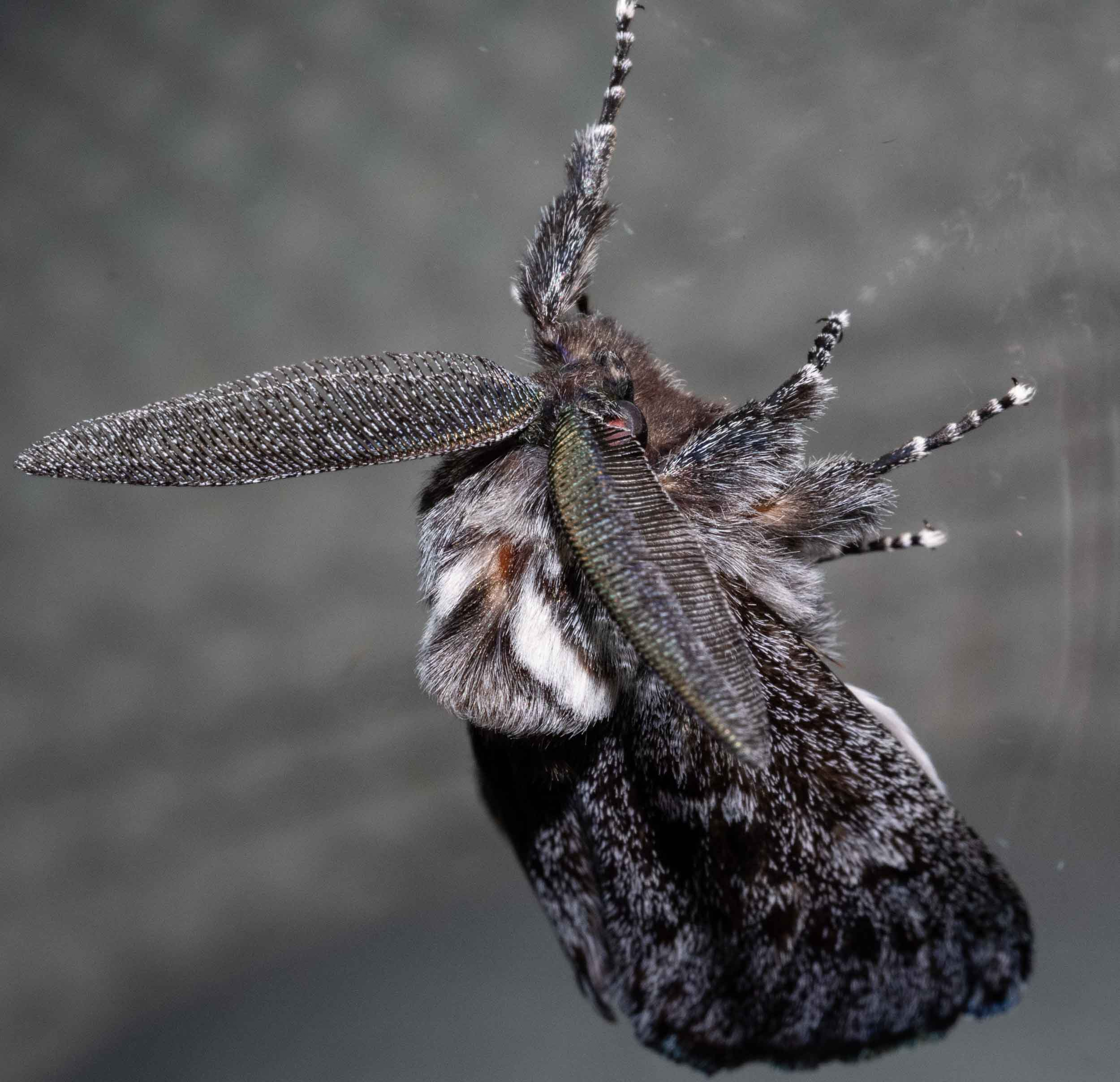 Ptilomacra senex   At one stage, there were seven, at a single window! And all sporting those impressive antennae.   Family: Cossidae