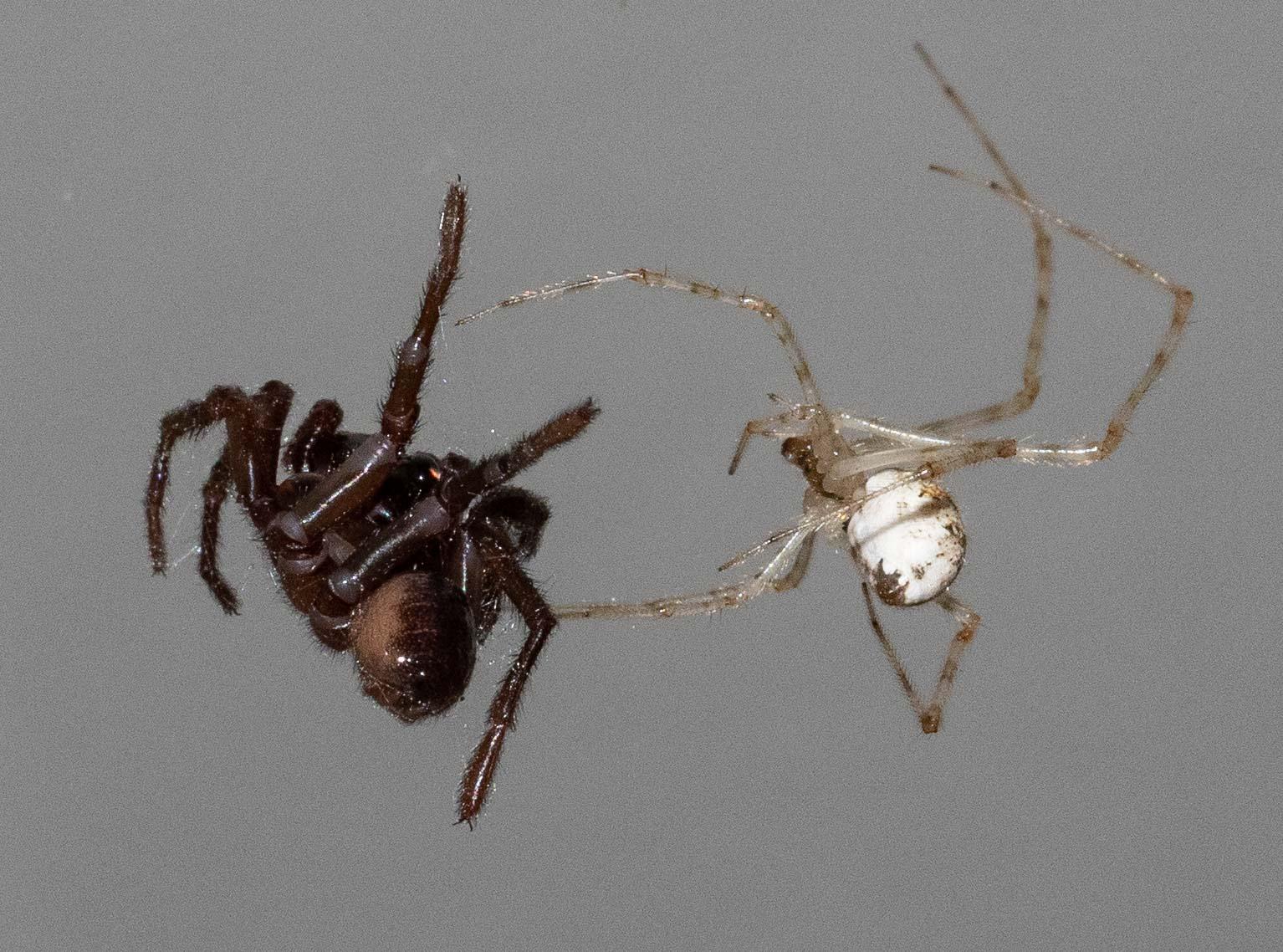 Cryptachaea gigantipes  (right), with captive trapdoor spider