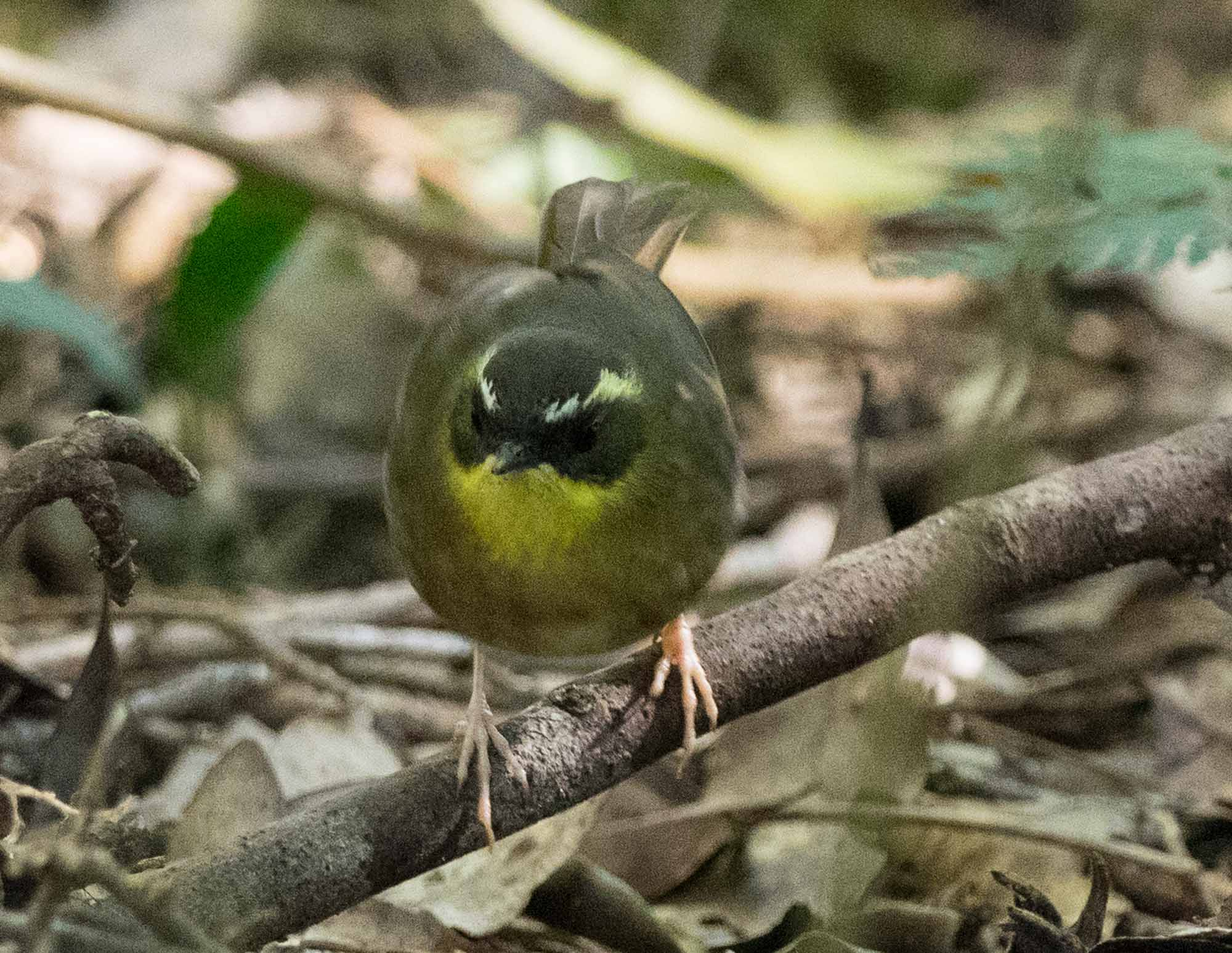 The Yellow-throated Scrubwren shows a different pattern of hunting behaviour to the robins, hopping around on the ground - just like the White-browed Scrubwren.