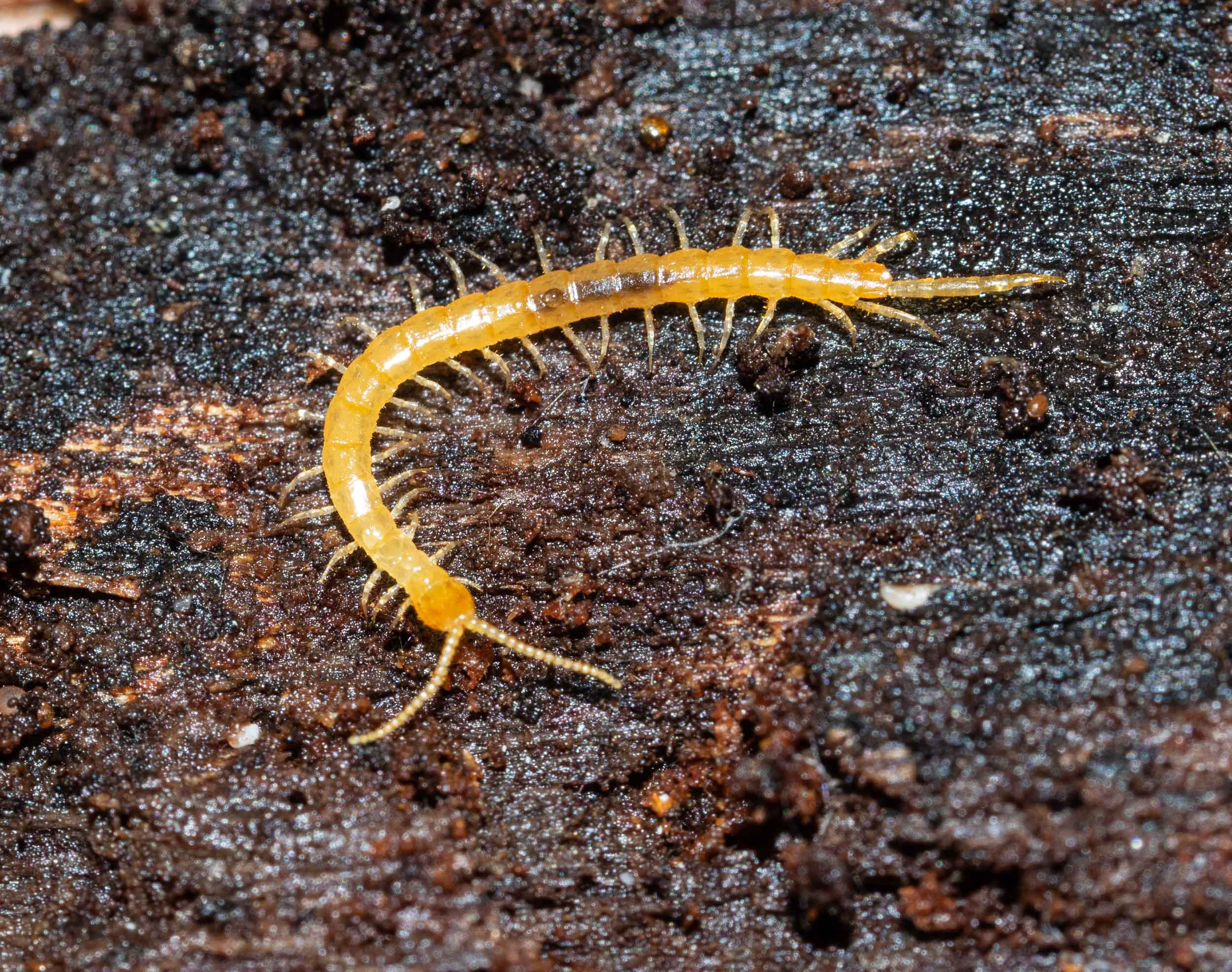 A small centipede,  Cryptops sp ., found under the bark of a rotting log. The genus name is appropriate, given the lifestyle of this creature. A small predator, which preys on even smaller invertebrates.