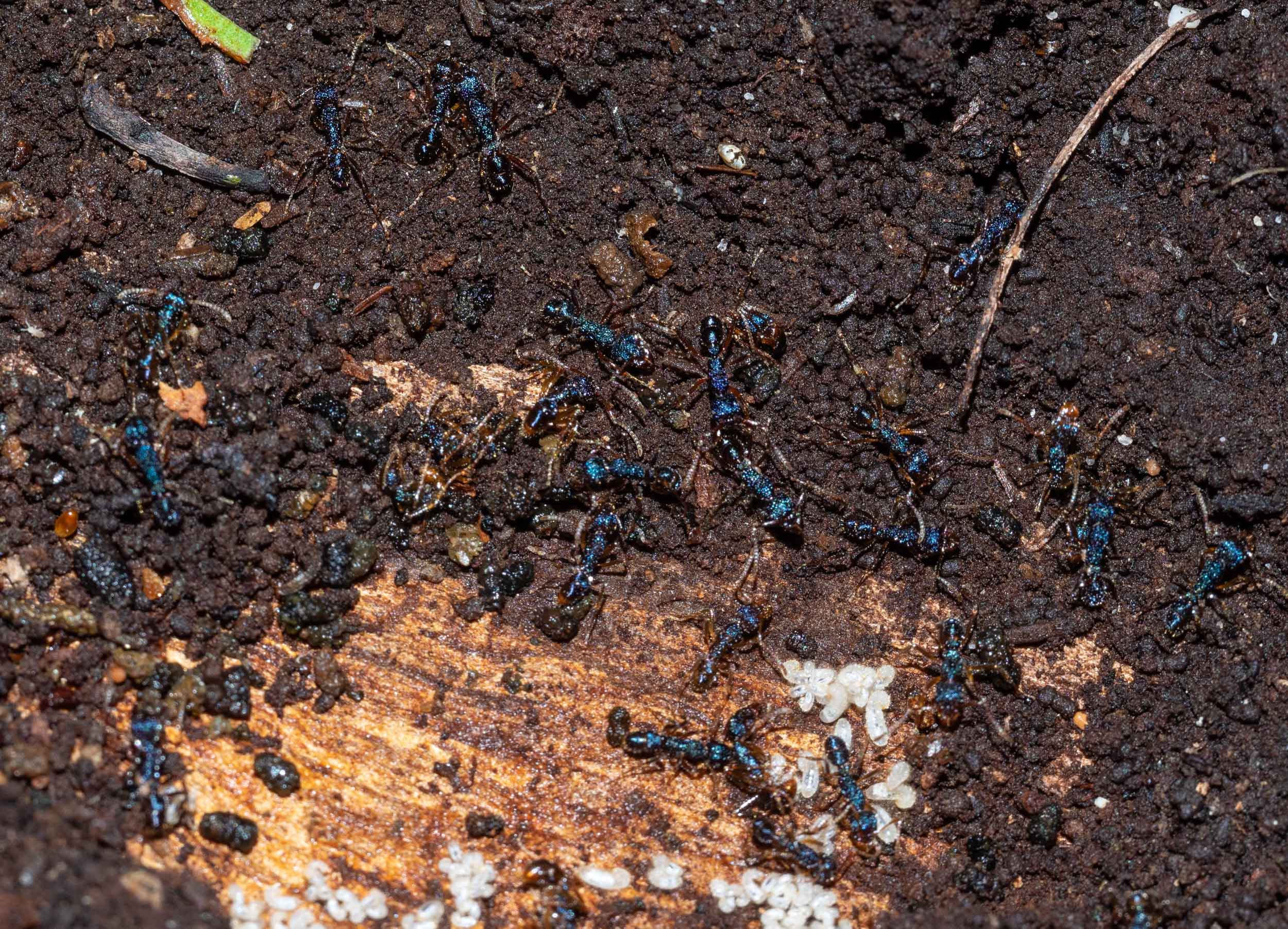 Turning over the bark of another log revealed this nest of ants with their larvae. This species is  Heteroponera imbellis . It builds a complex network of galleries inside the rotting wood.
