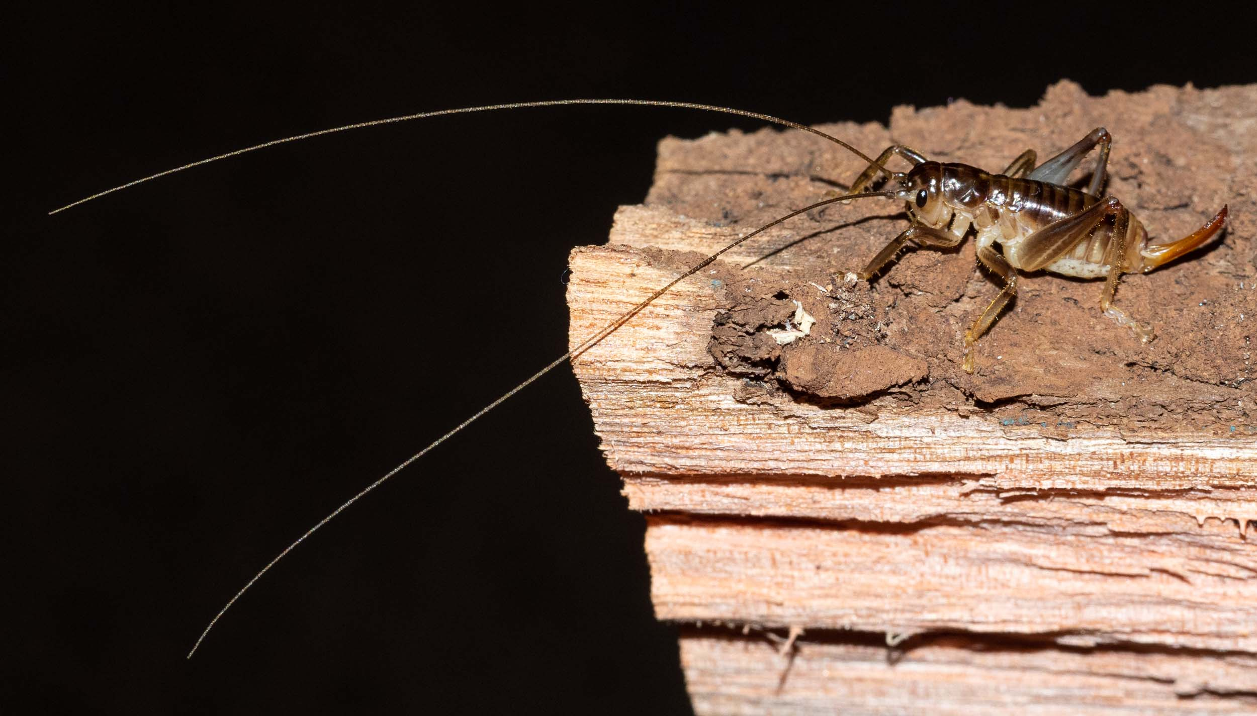 The cricket displays its massively long antennae and its ovipositor