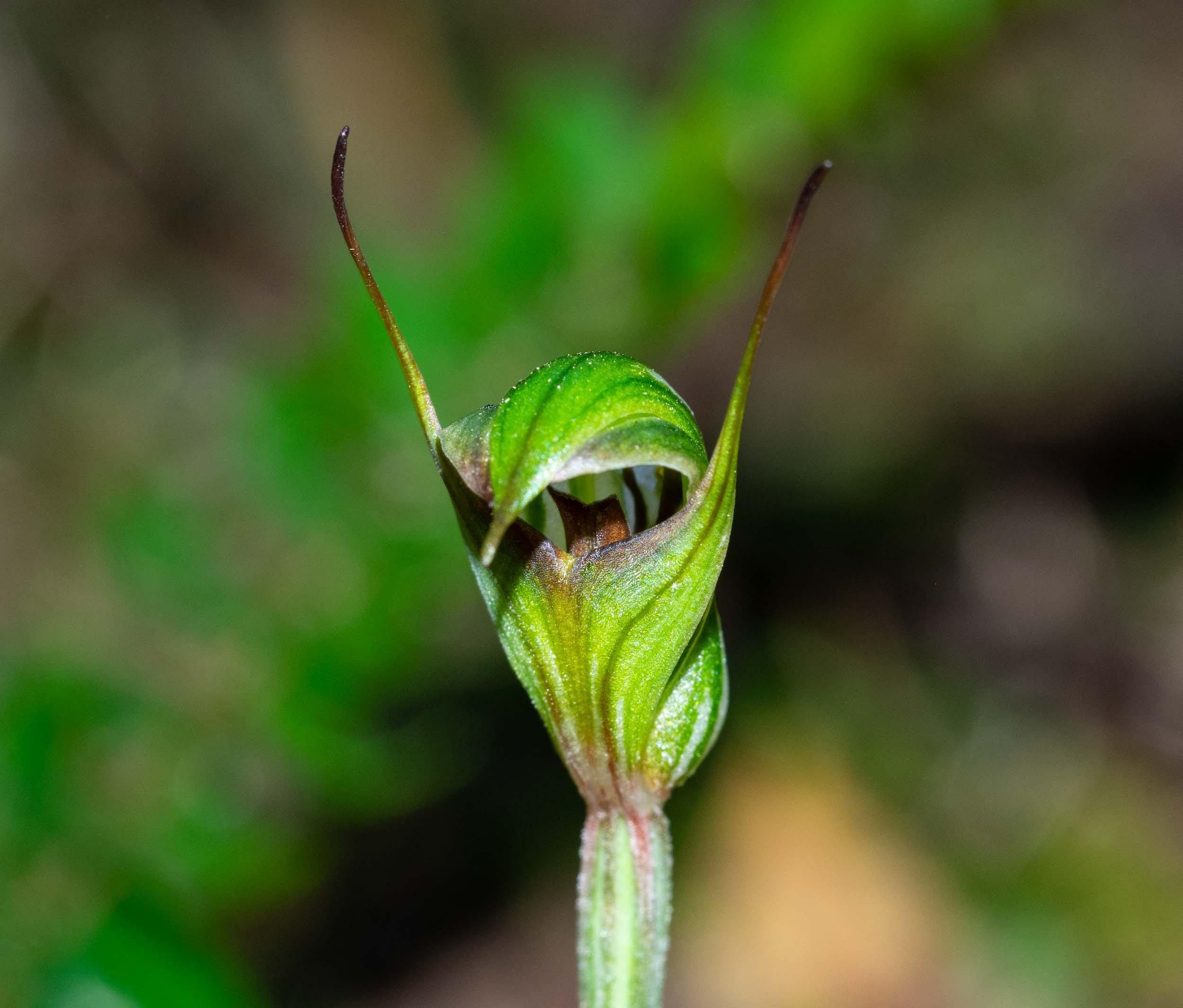 Trim Greenhood  (Pterostylis concinna)