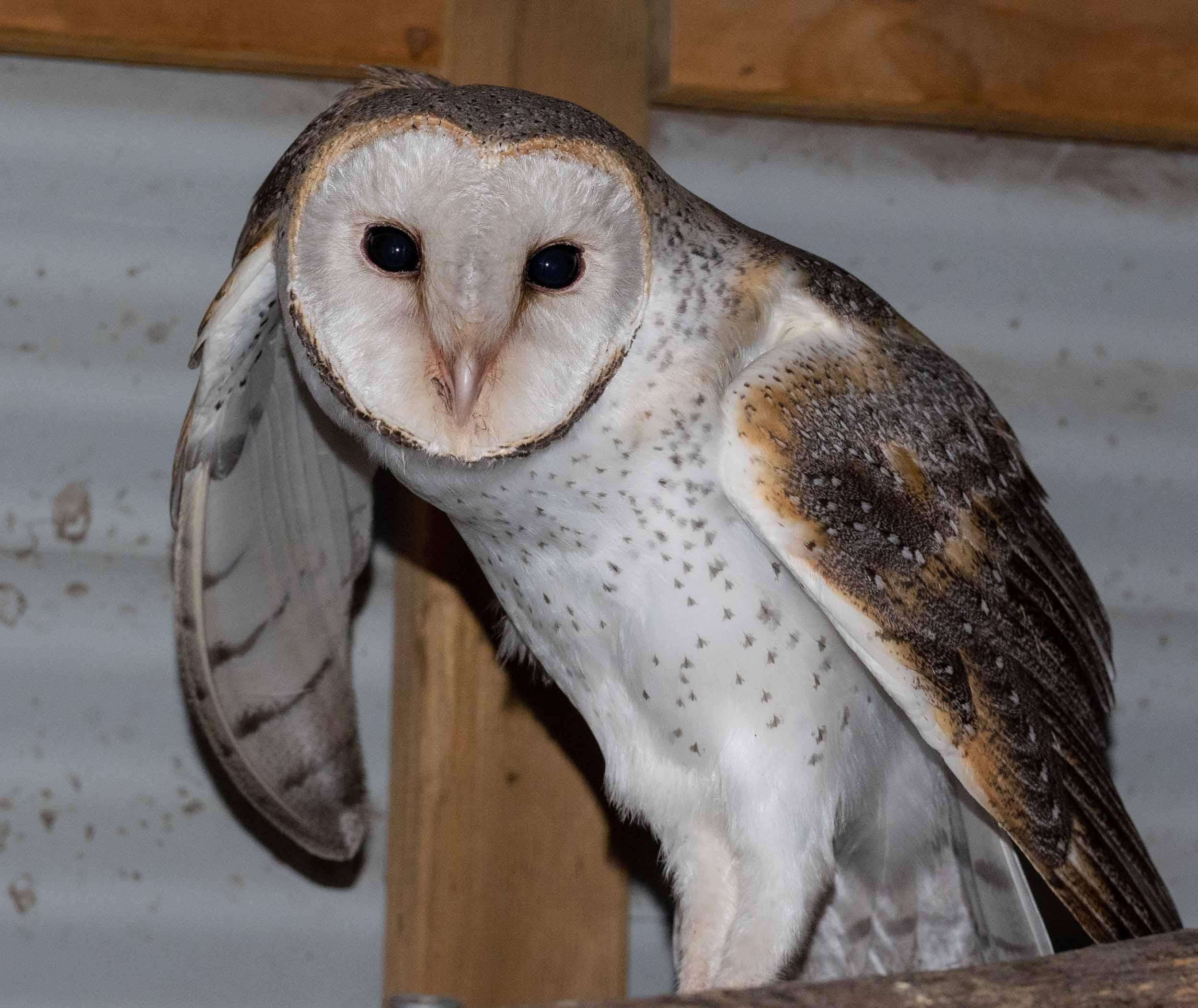 Eastern Barn Owl ( Tyto alba )